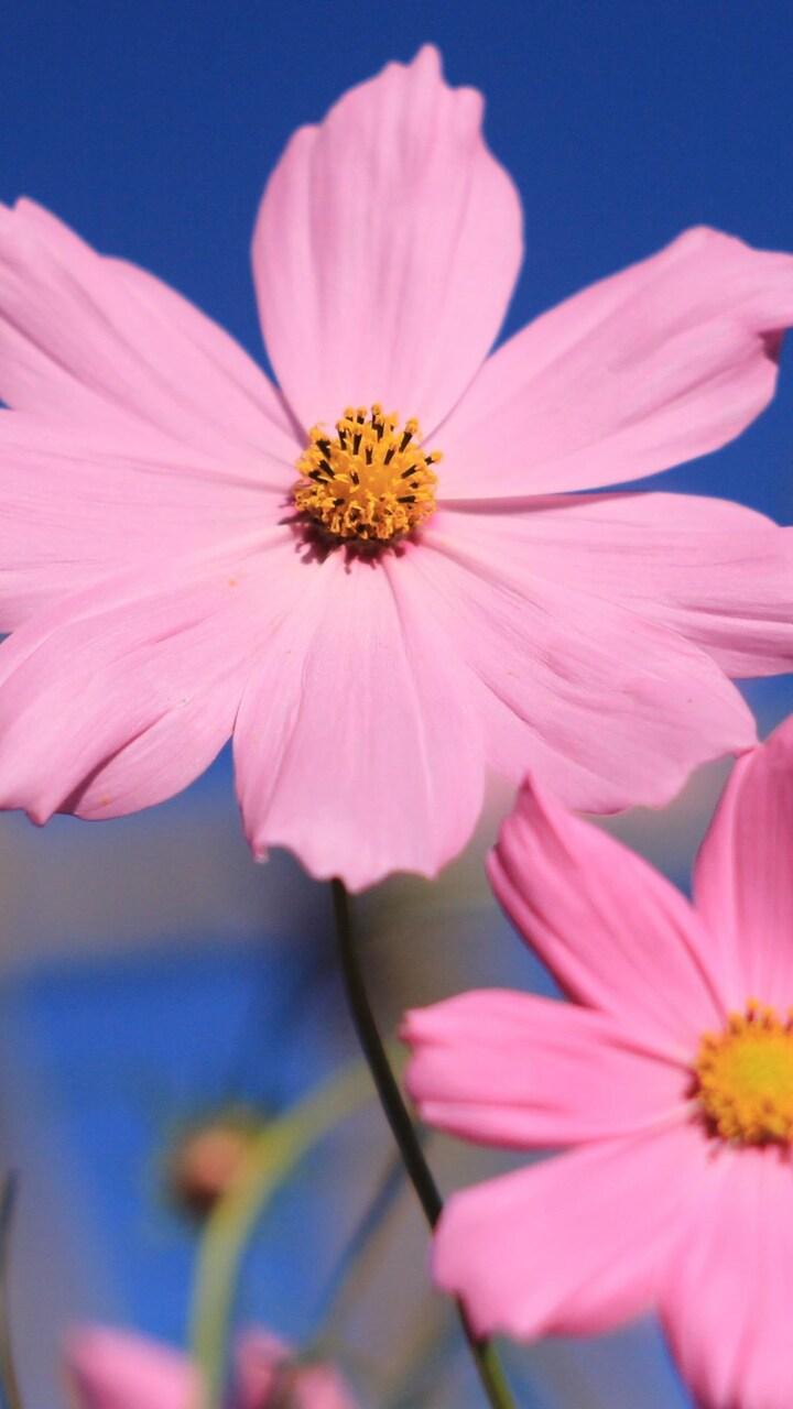 pink-cosmos-flower-lu.jpg