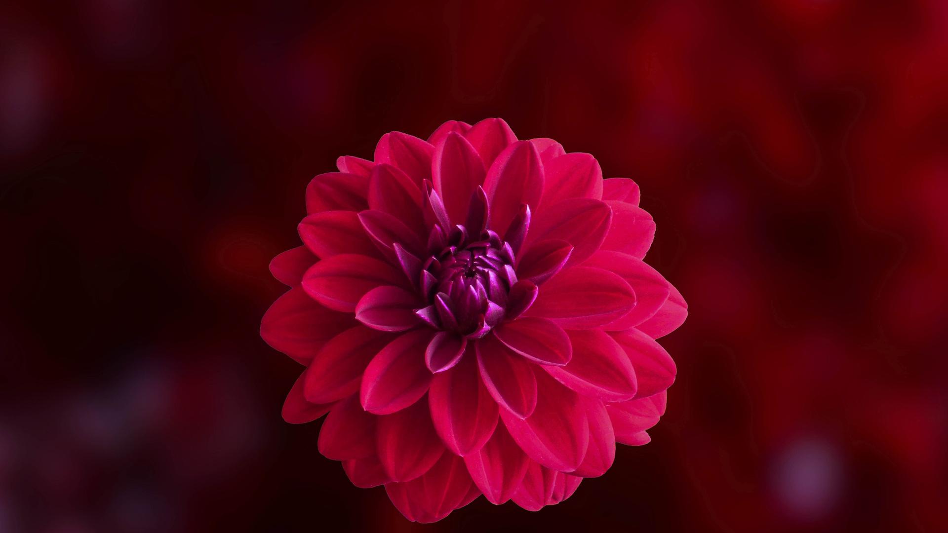 Pink Dahlia Flower Je