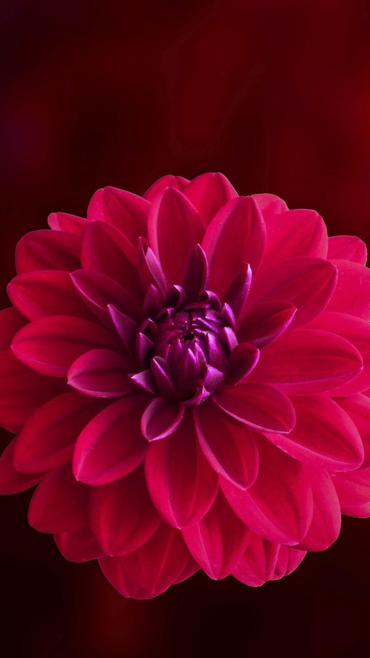 pink-dahlia-flower-je.jpg
