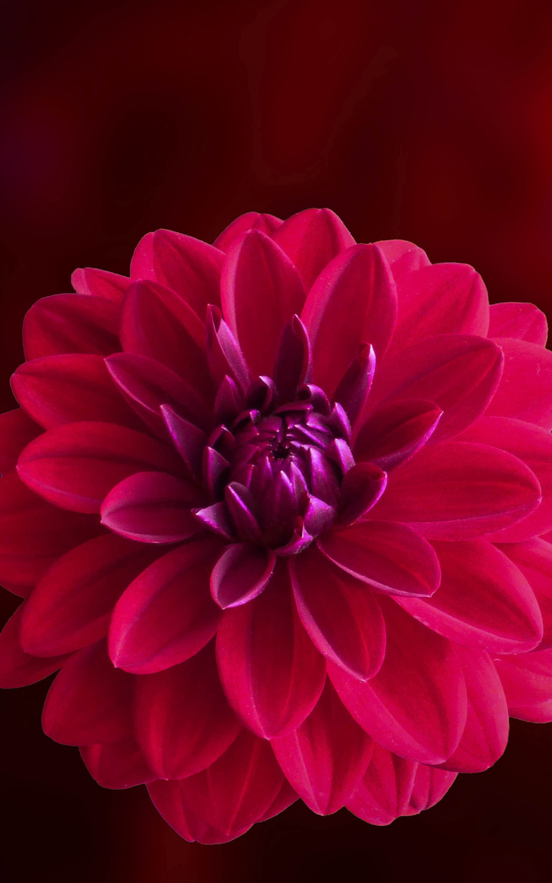 800x1280 Pink Dahlia Flower Nexus 7 Samsung Galaxy Tab 10 Note Android Tablets Hd 4k Wallpapers Images Backgrounds Photos And Pictures