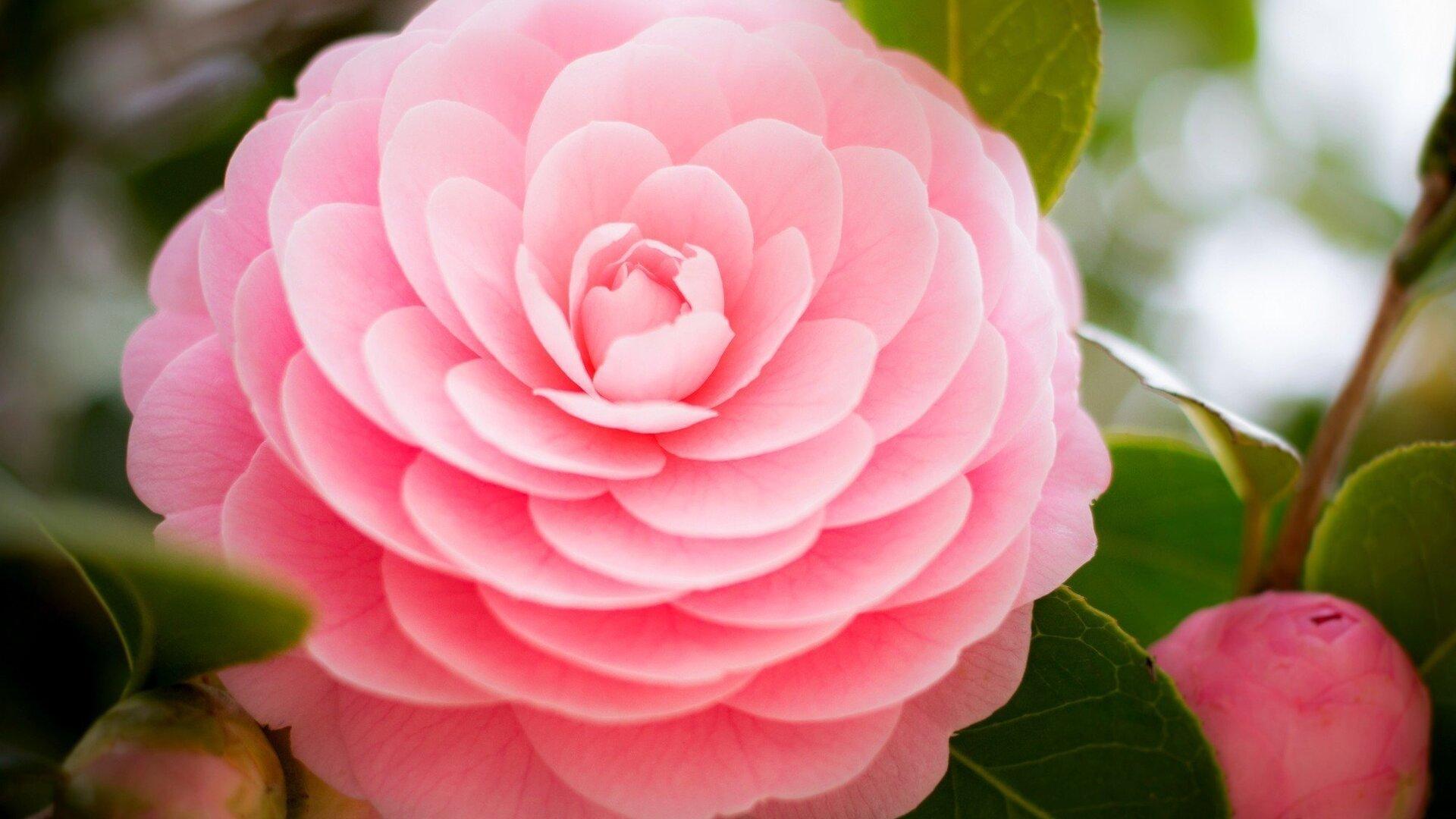 1920x1080 Pink Flower Laptop Full HD 1080P HD 4k ...