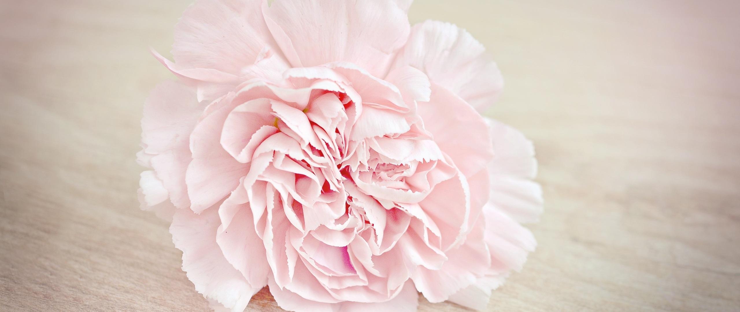 pink-flower-carnation-blossom-7d.jpg
