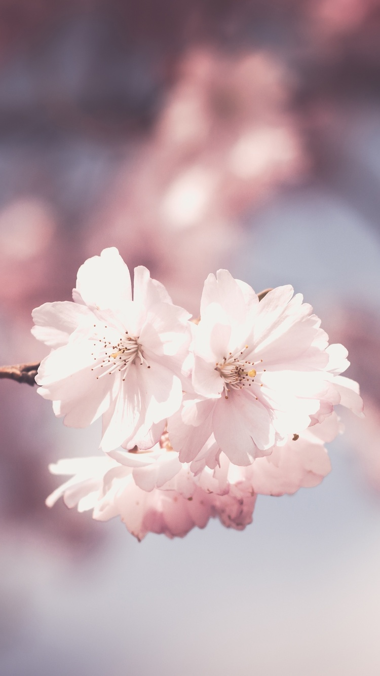 750x1334 Pink Flower Tree Bloom Spring Iphone 6 Iphone 6s Iphone 7