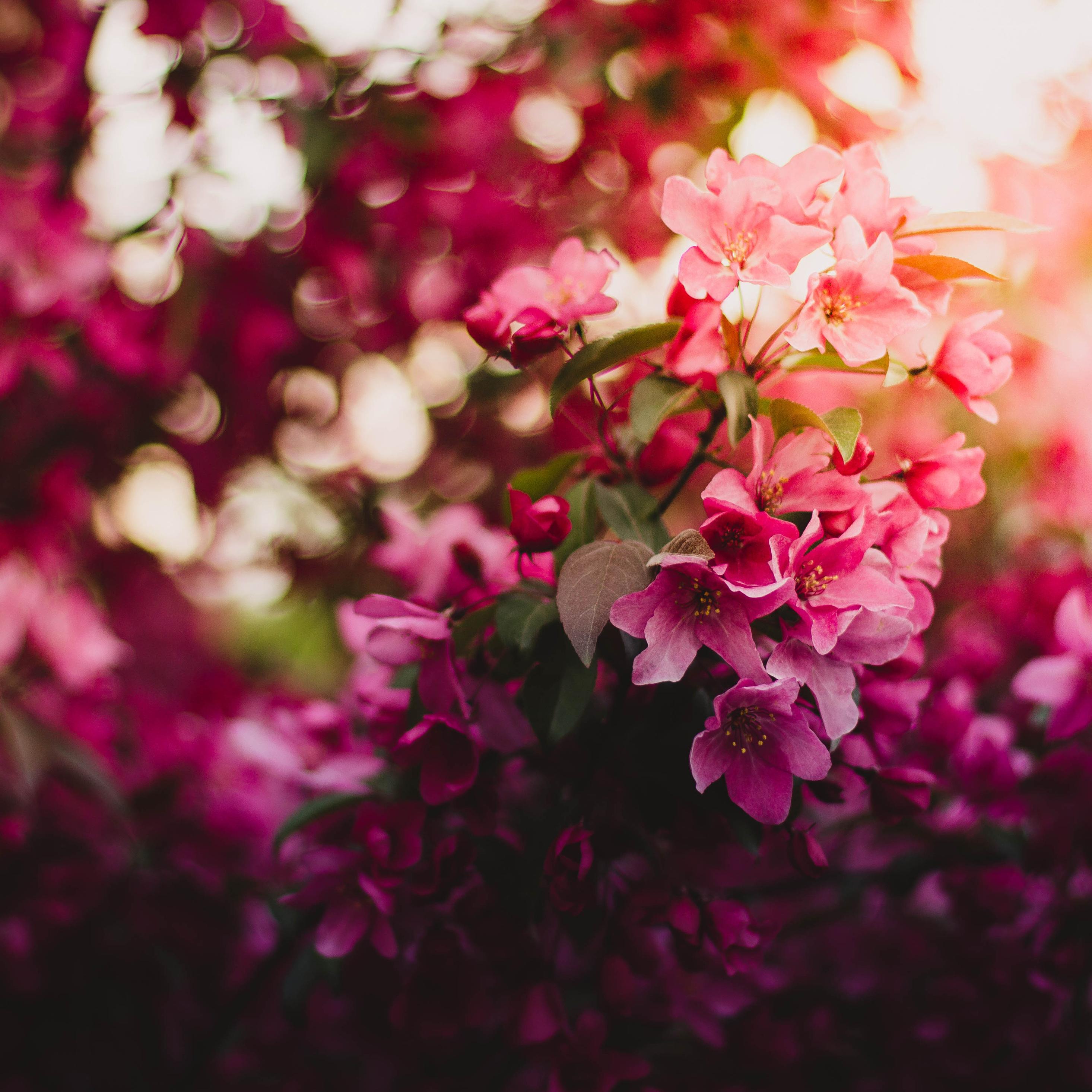 2932x2932 Pink Flowers On Tree 5k Ipad Pro Retina Display Hd 4k