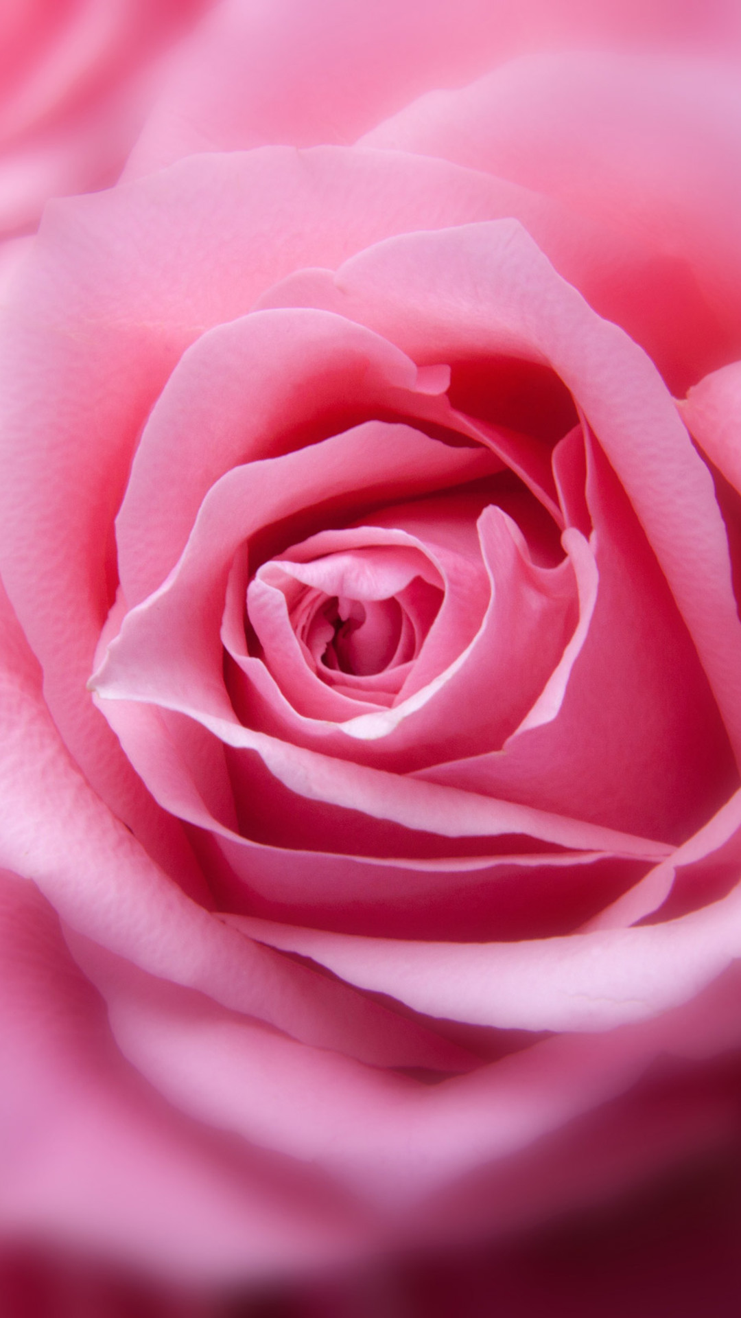pink-rose-hd-img.jpg