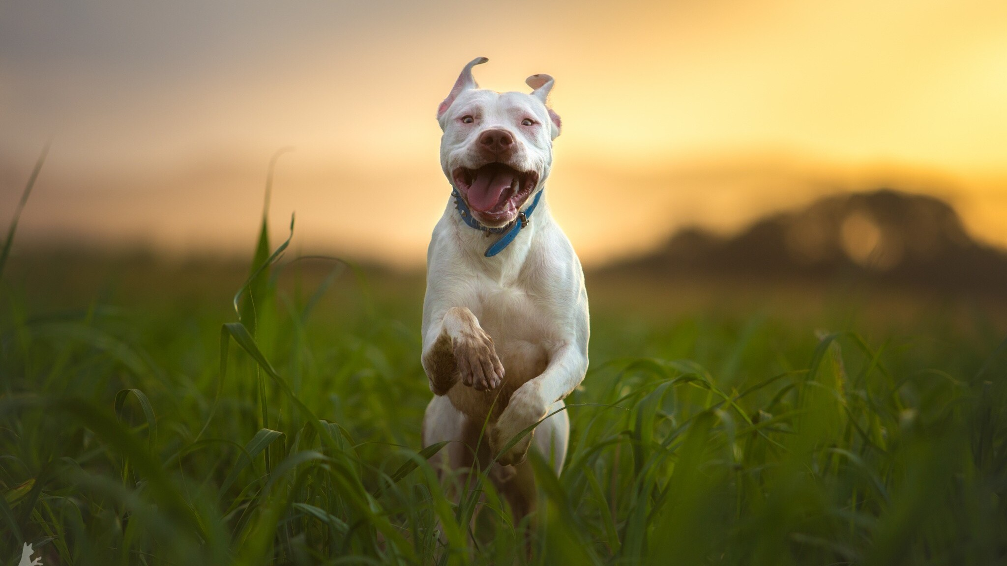Download Pitbull Dog Breed Running HD 4k Wallpapers In ...