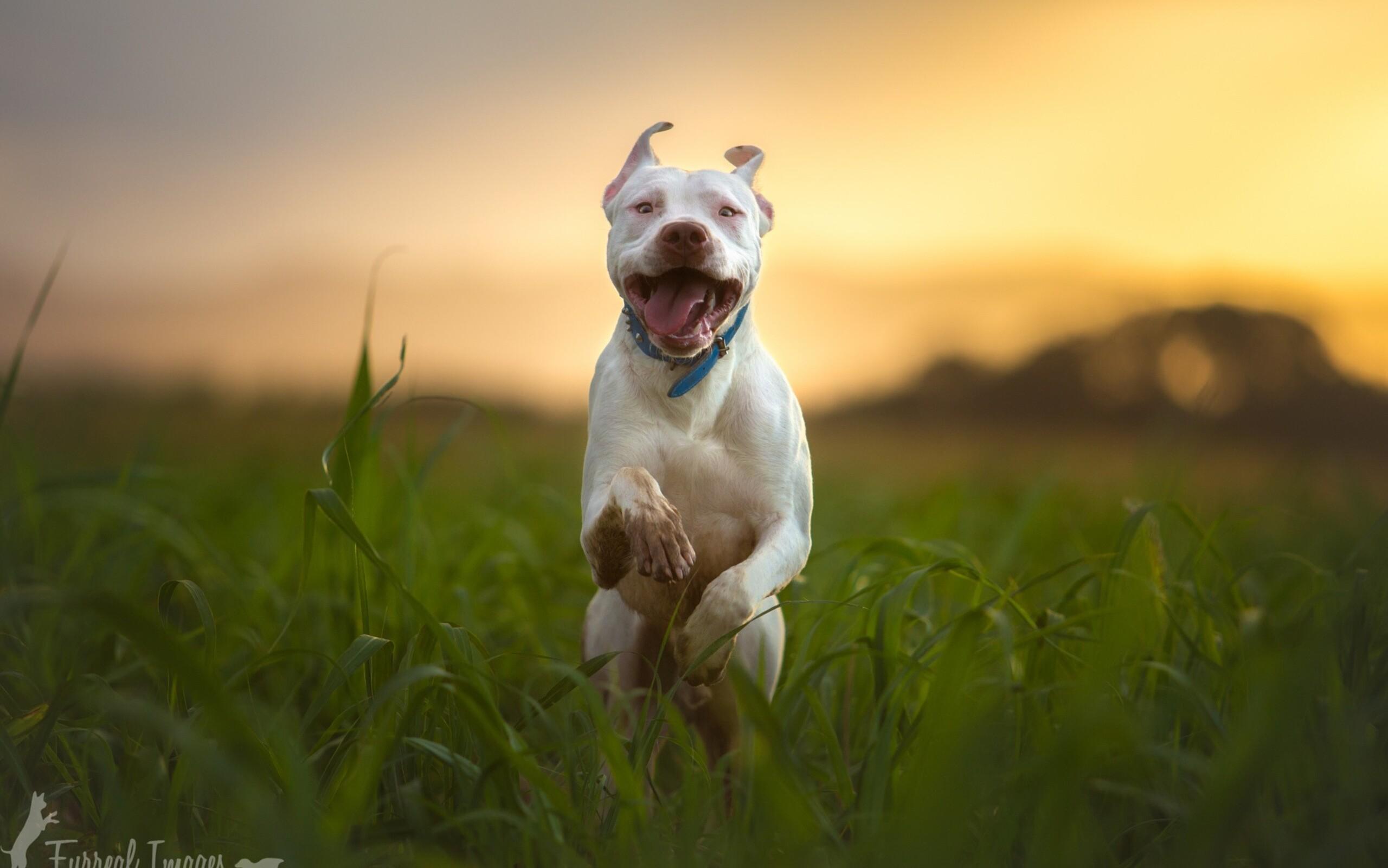 pitbull dog breed running