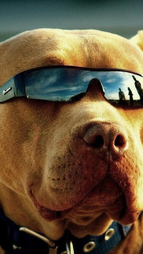 480x854 Pitbull Got Swag Android One Hd 4k Wallpapers