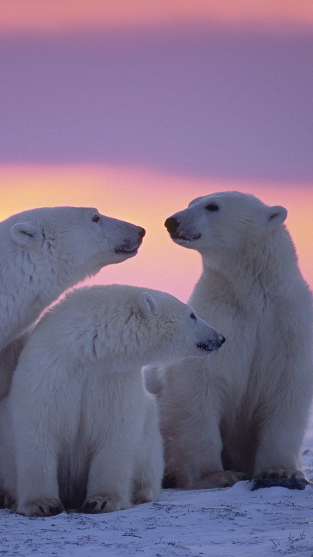 polar-bear-family-5r.jpg