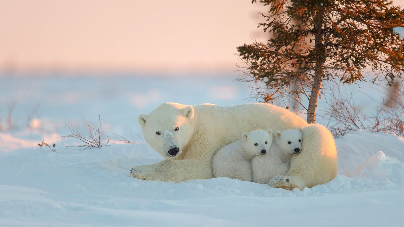 1366x768 polar bear with baby 1366x768 resolution hd 4k wallpapers