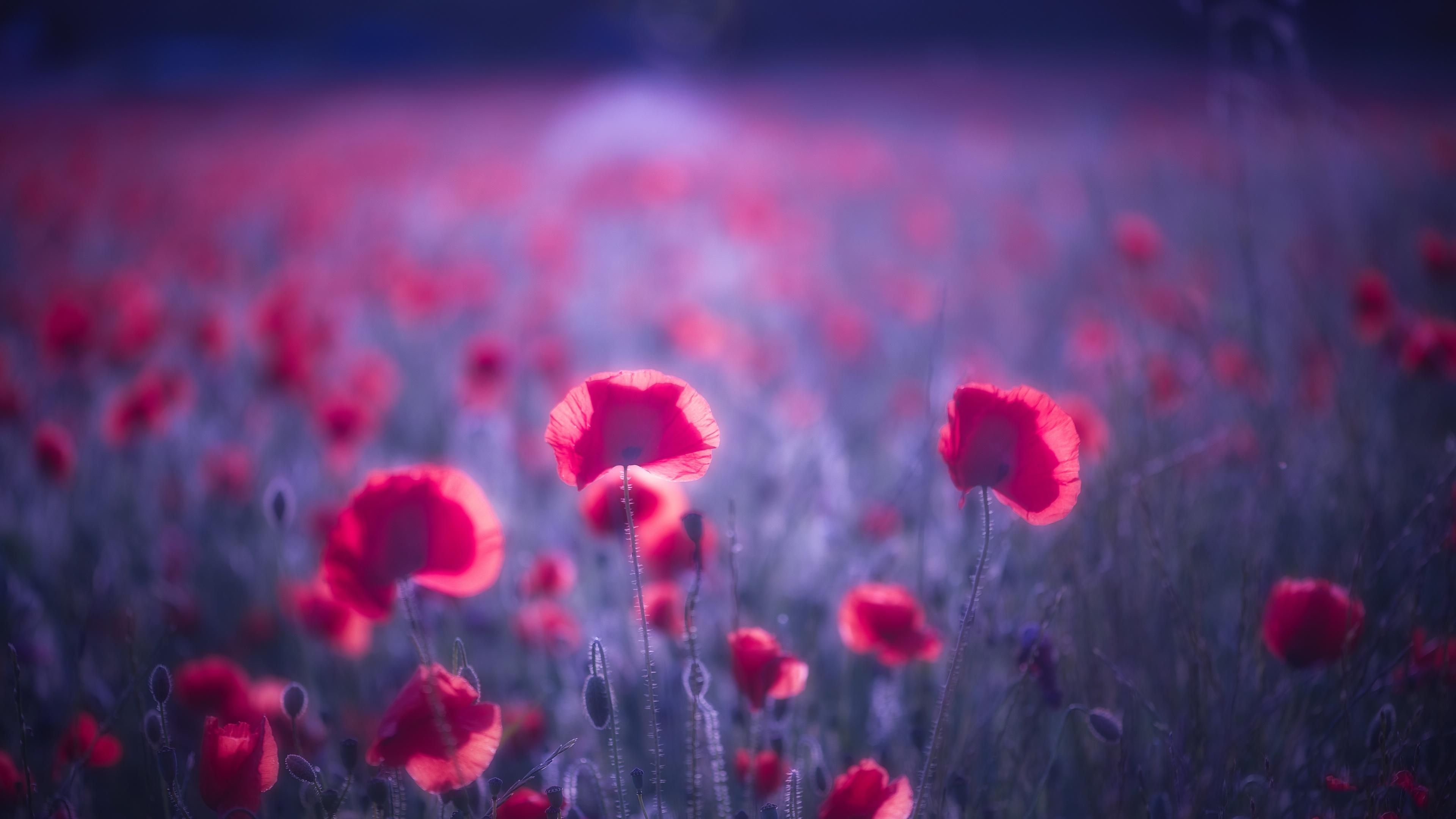 poppy-flowers-8k-0s.jpg