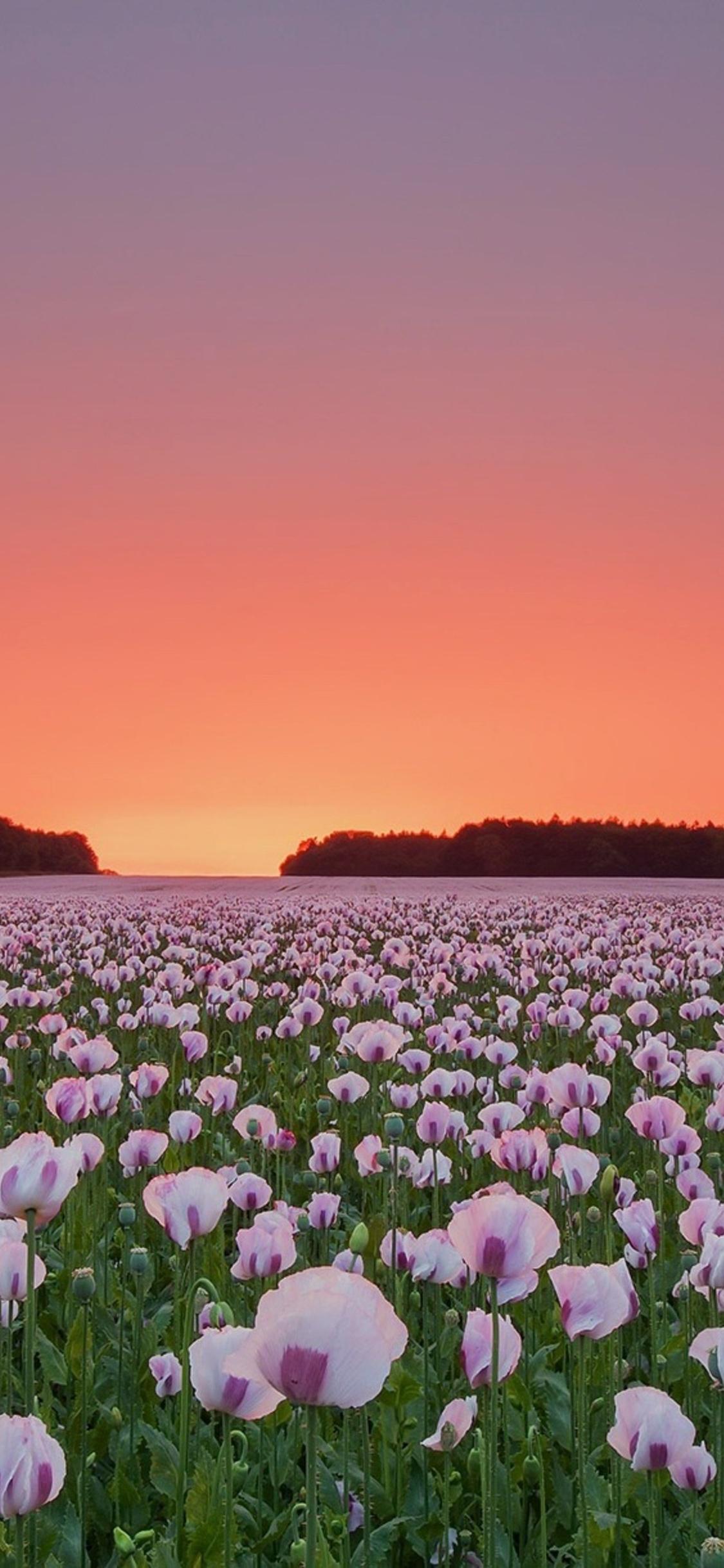 poppy-flowers-field-gj.jpg