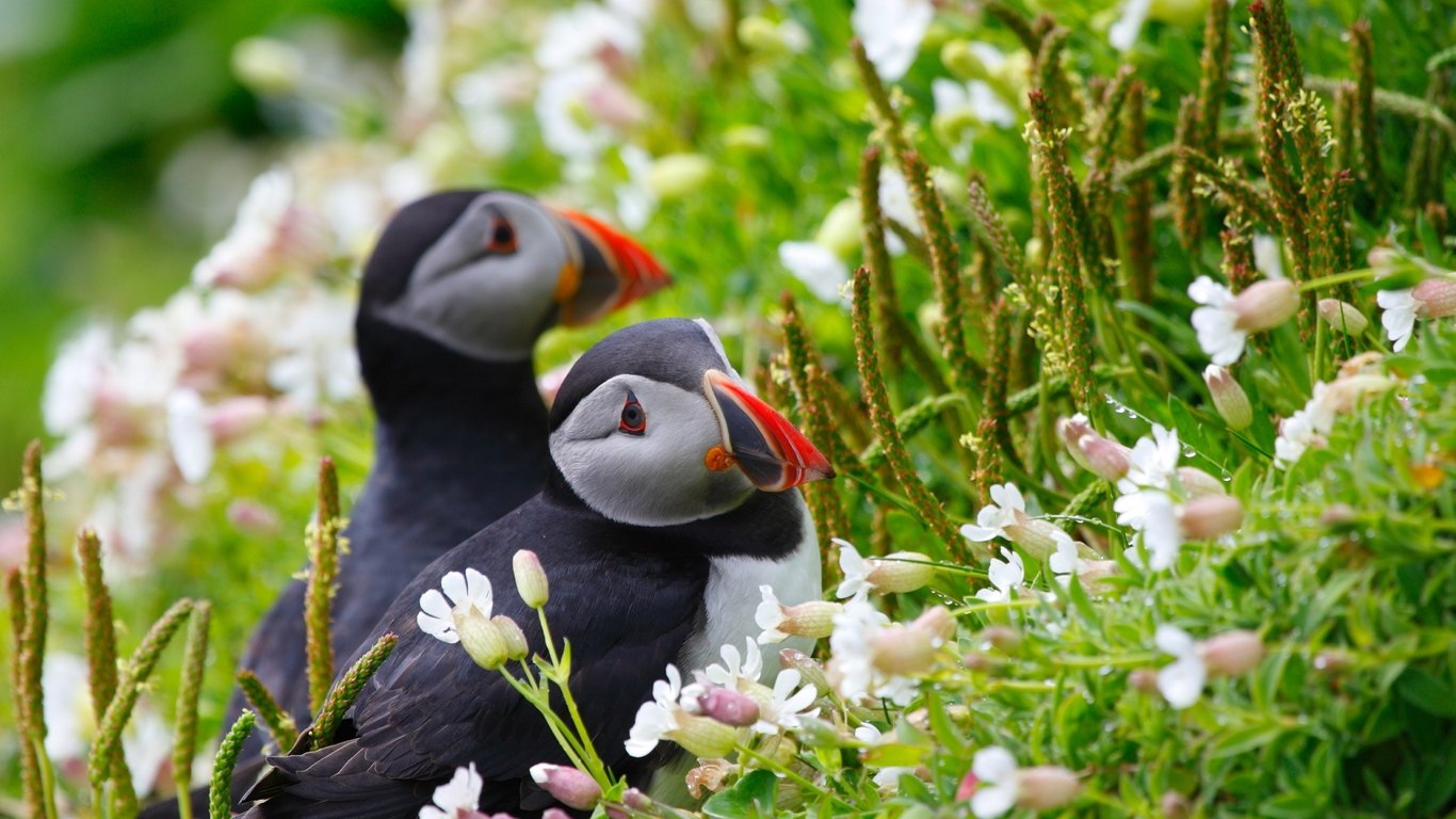 puffin-couple.jpg