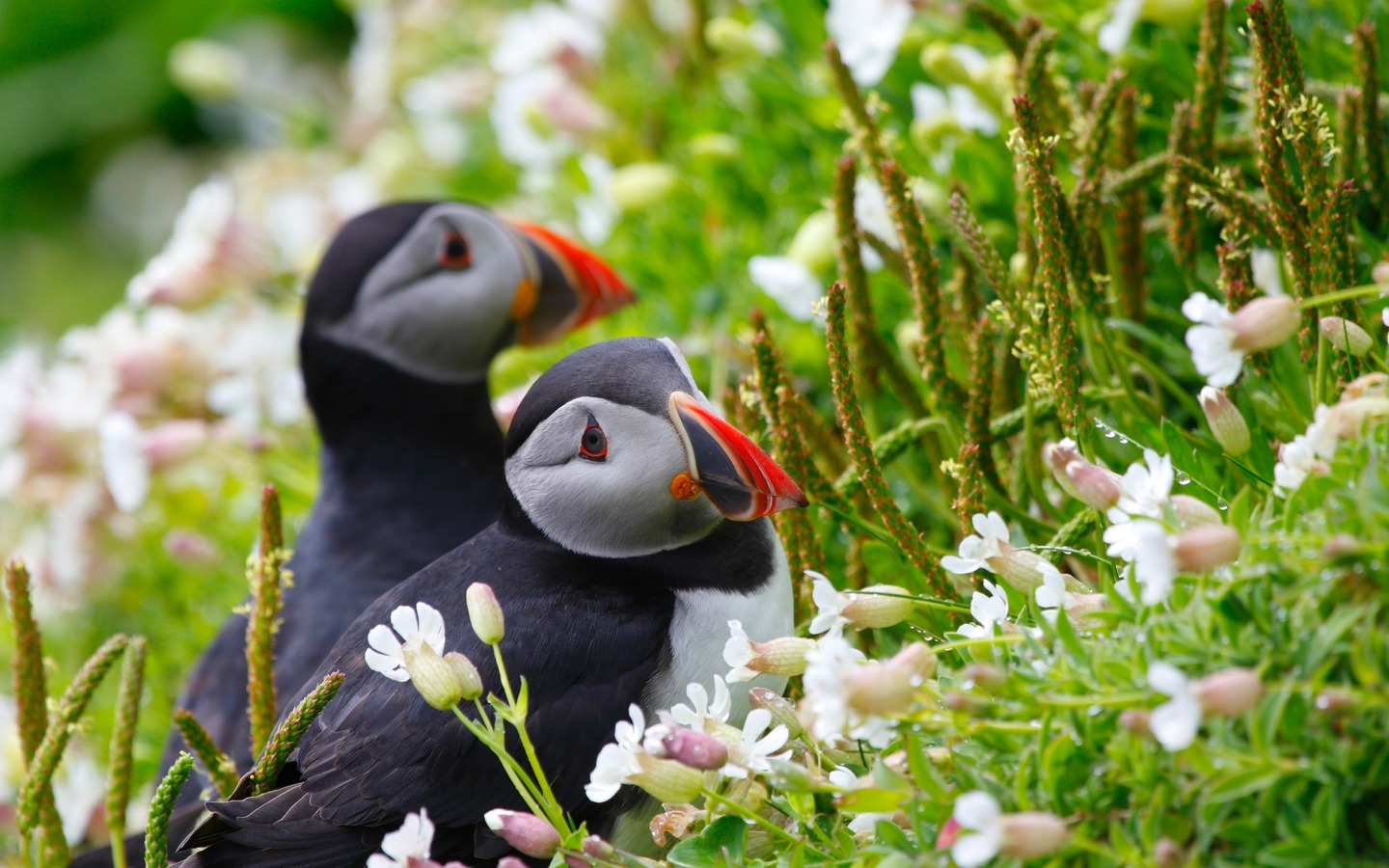 puffin-couple.jpg
