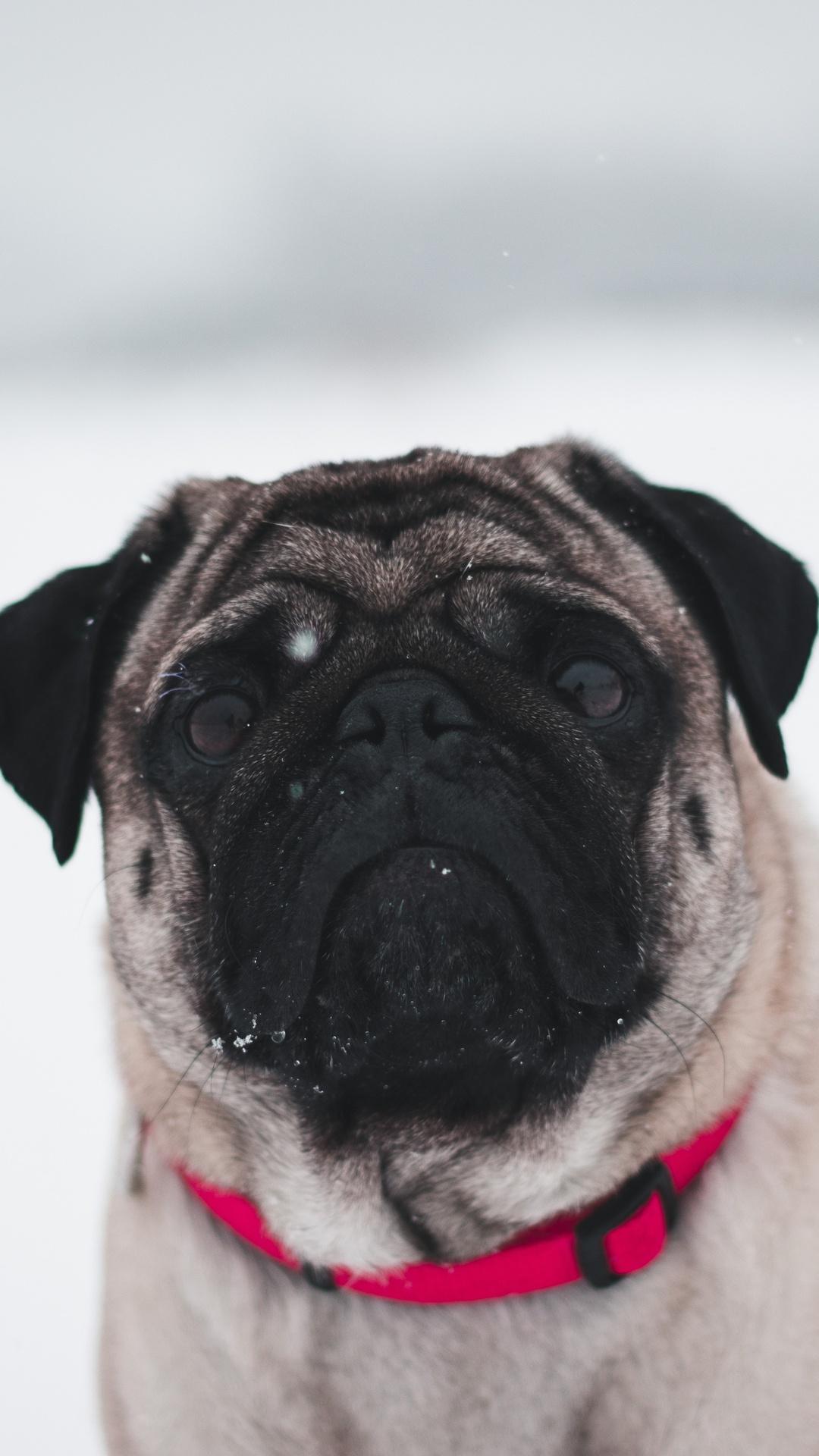 pug-in-snow-5k-z6.jpg