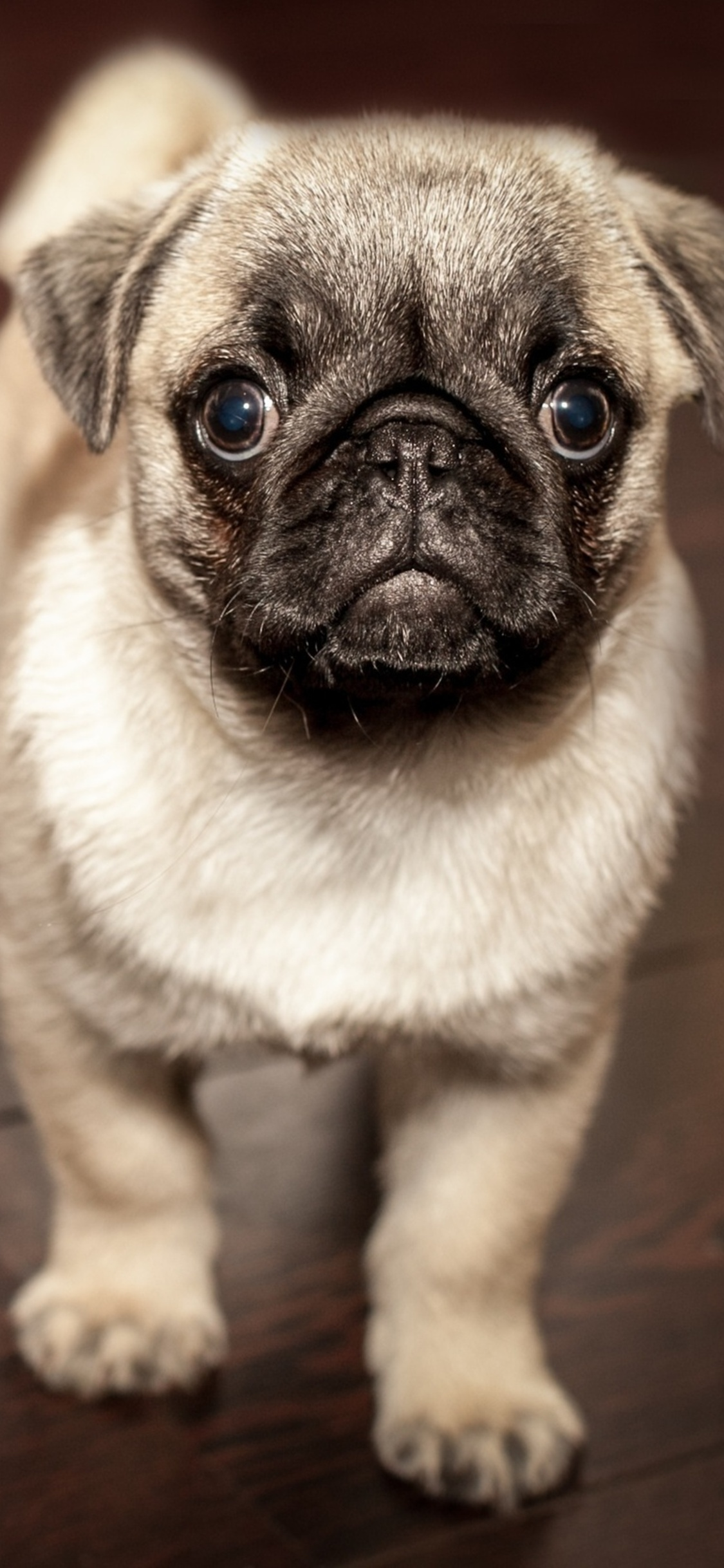 1125x2436 Pug Puppy Iphone XIphone 10 HD 4k Wallpapers Images