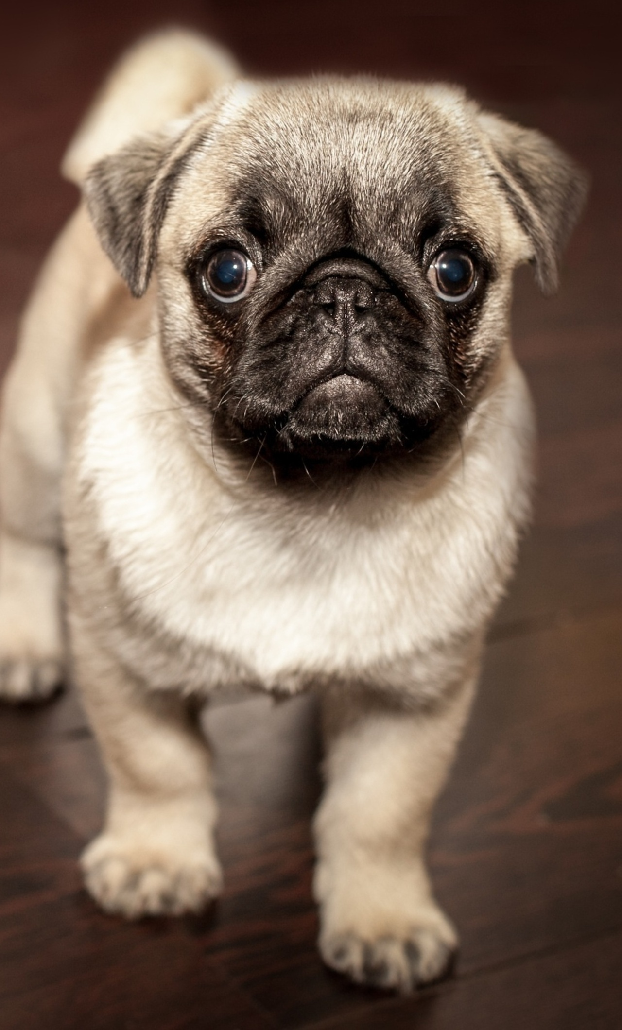 1280x2120 Pug Puppy IPhone 6 HD 4k Wallpapers Images Backgrounds