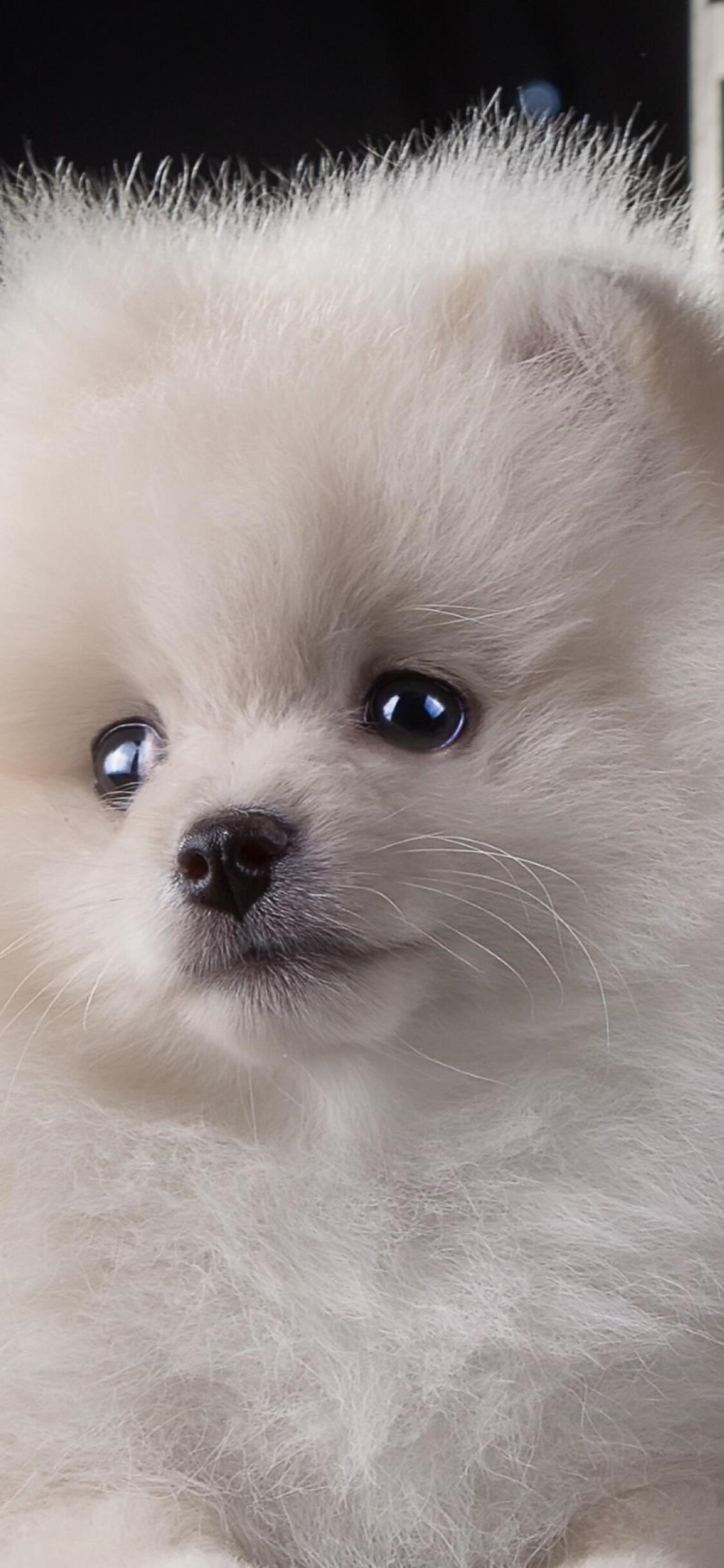 1125x2436 Puppy White Cute Iphone Xs Iphone 10 Iphone X Hd 4k Wallpapers Images Backgrounds Photos And Pictures