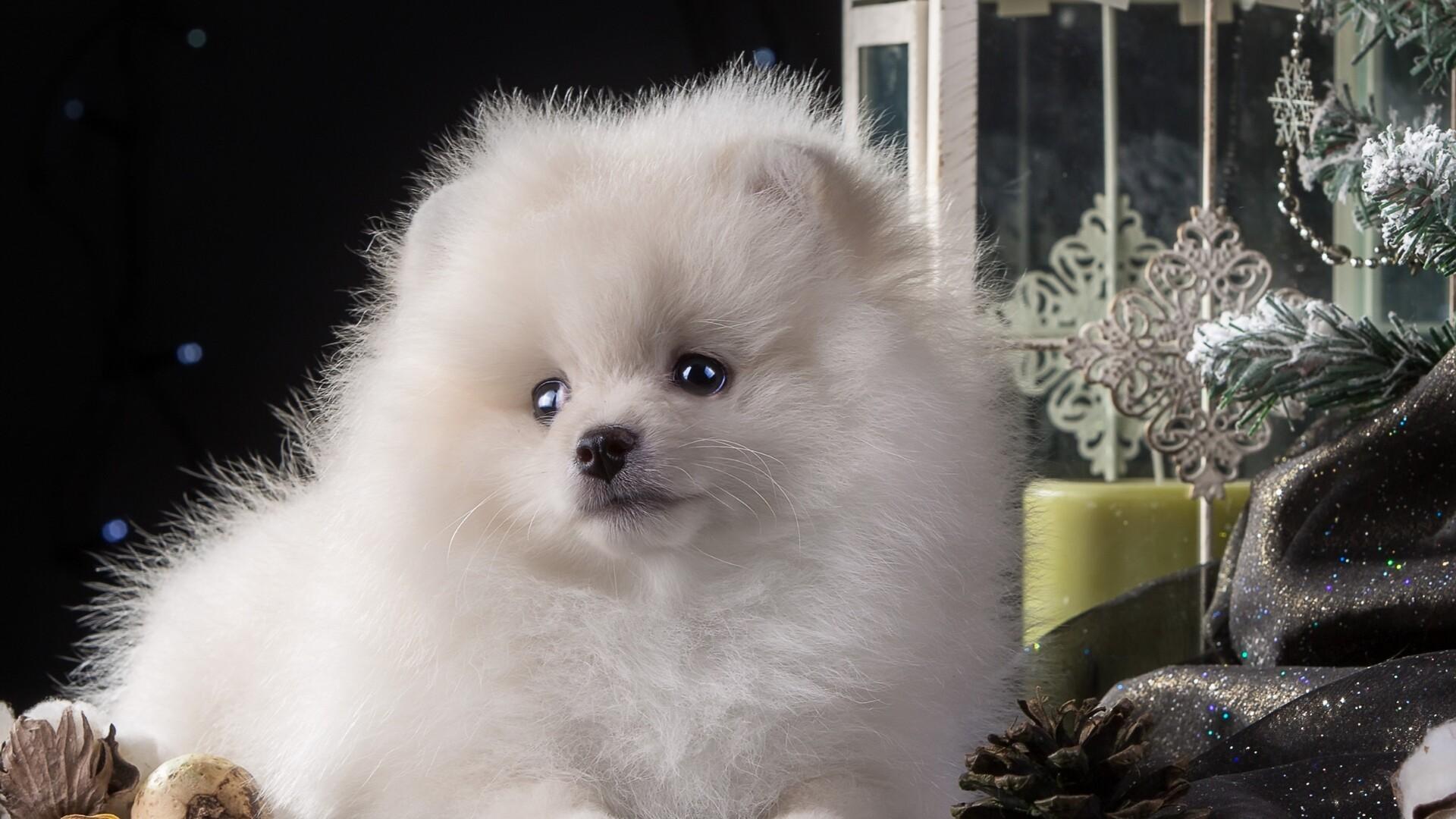 1920x1080 Puppy White Cute Laptop Full HD 1080P HD 4k ...