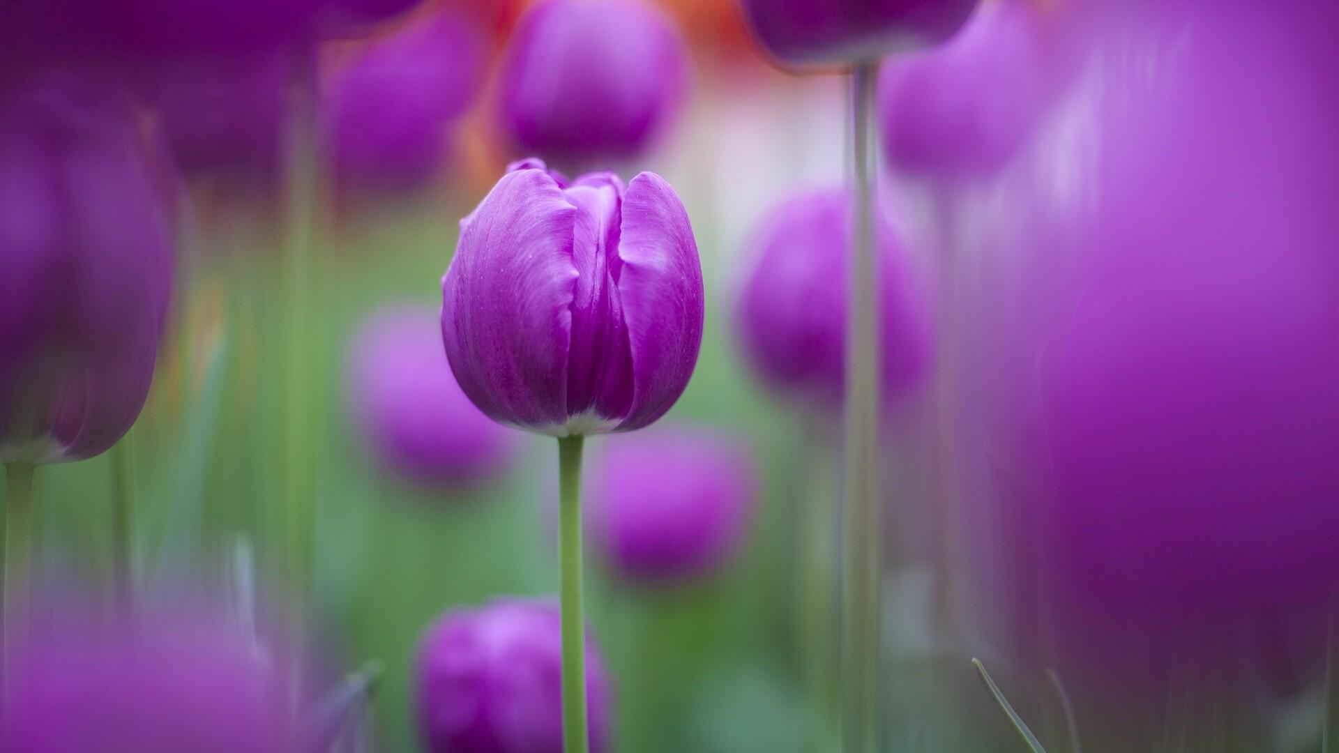 1920x1080 Purple Colour Tulips Laptop Full Hd 1080p Hd 4k Wallpapers