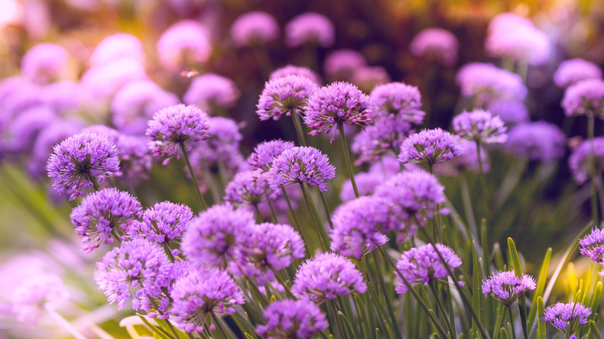 1920x1080 Purple Flowers 5k Laptop Full Hd 1080p Hd 4k Wallpapers Images Backgrounds Photos And Pictures