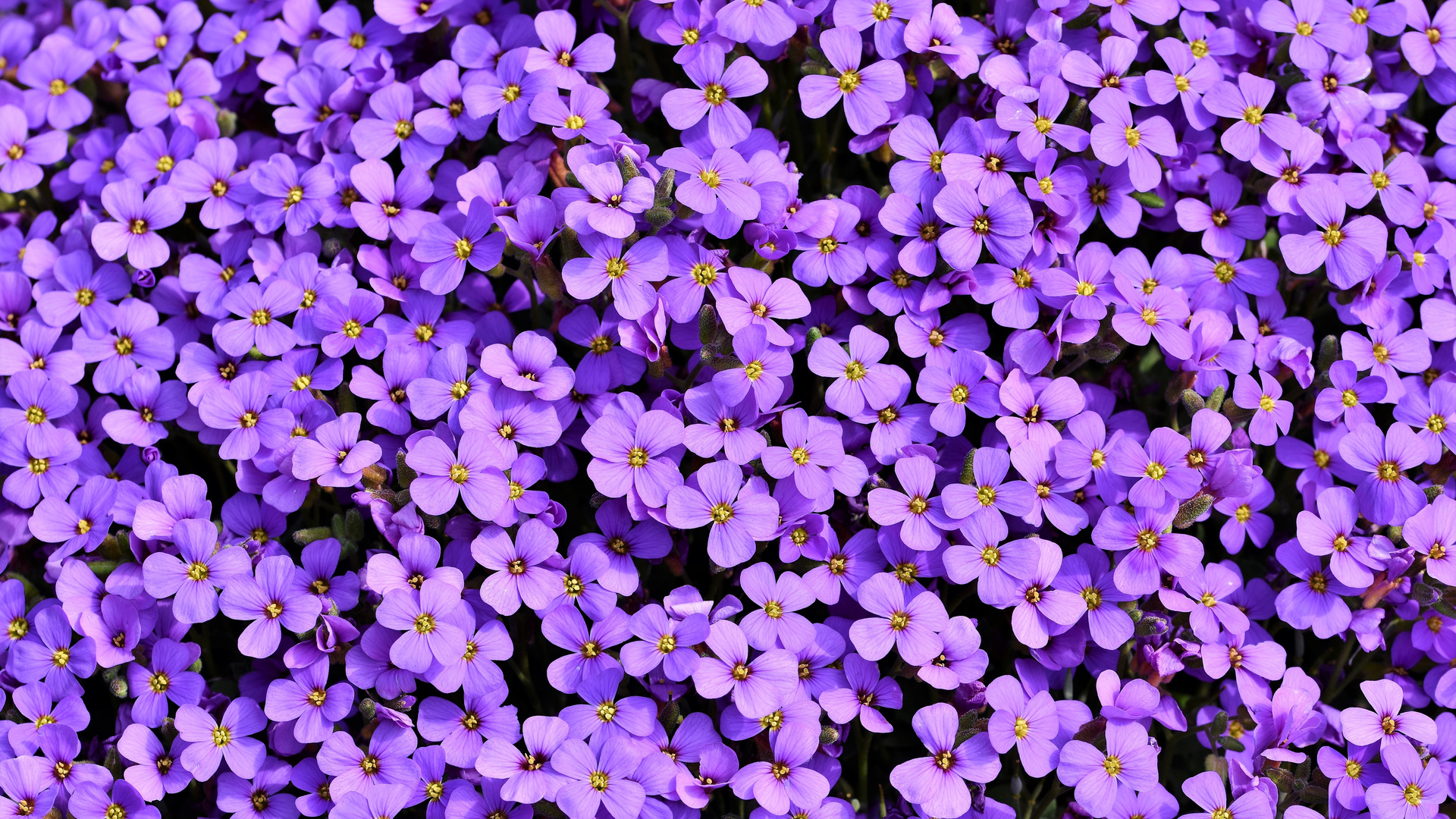1920x1080 Purple Flowers Background 5k Laptop Full Hd 1080p Hd 4k Wallpapers Images Backgrounds Photos And Pictures