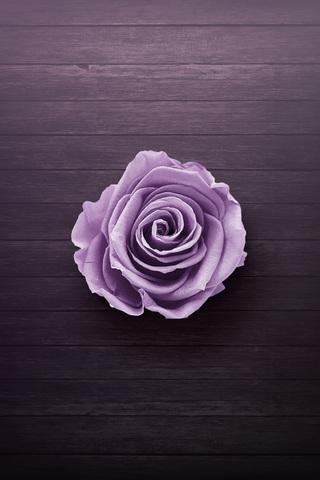 purple-rose-dv.jpg