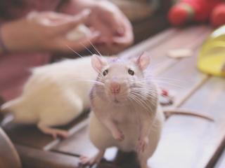 rat-cute.jpg