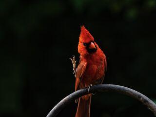 red-bird-feathers-39.jpg