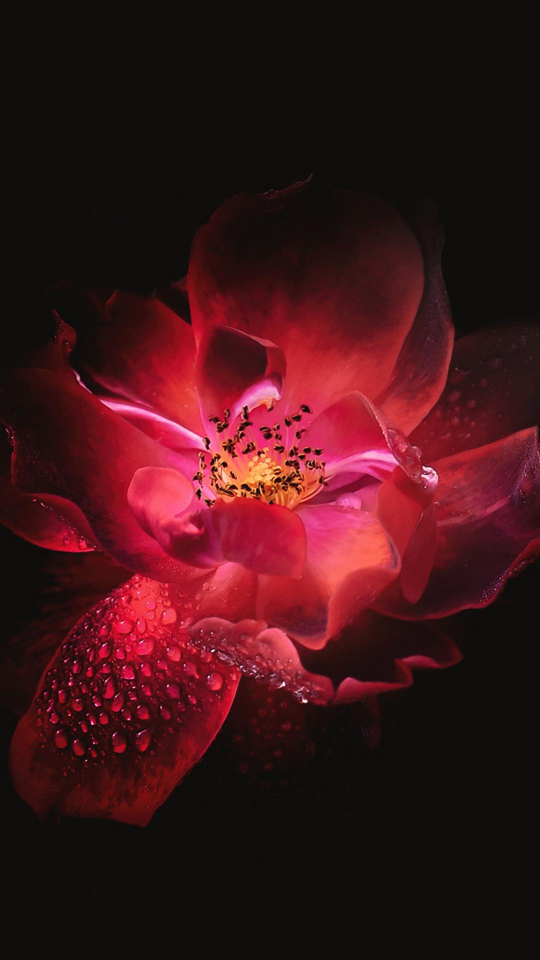 Red Flower Black Background 4k Hj