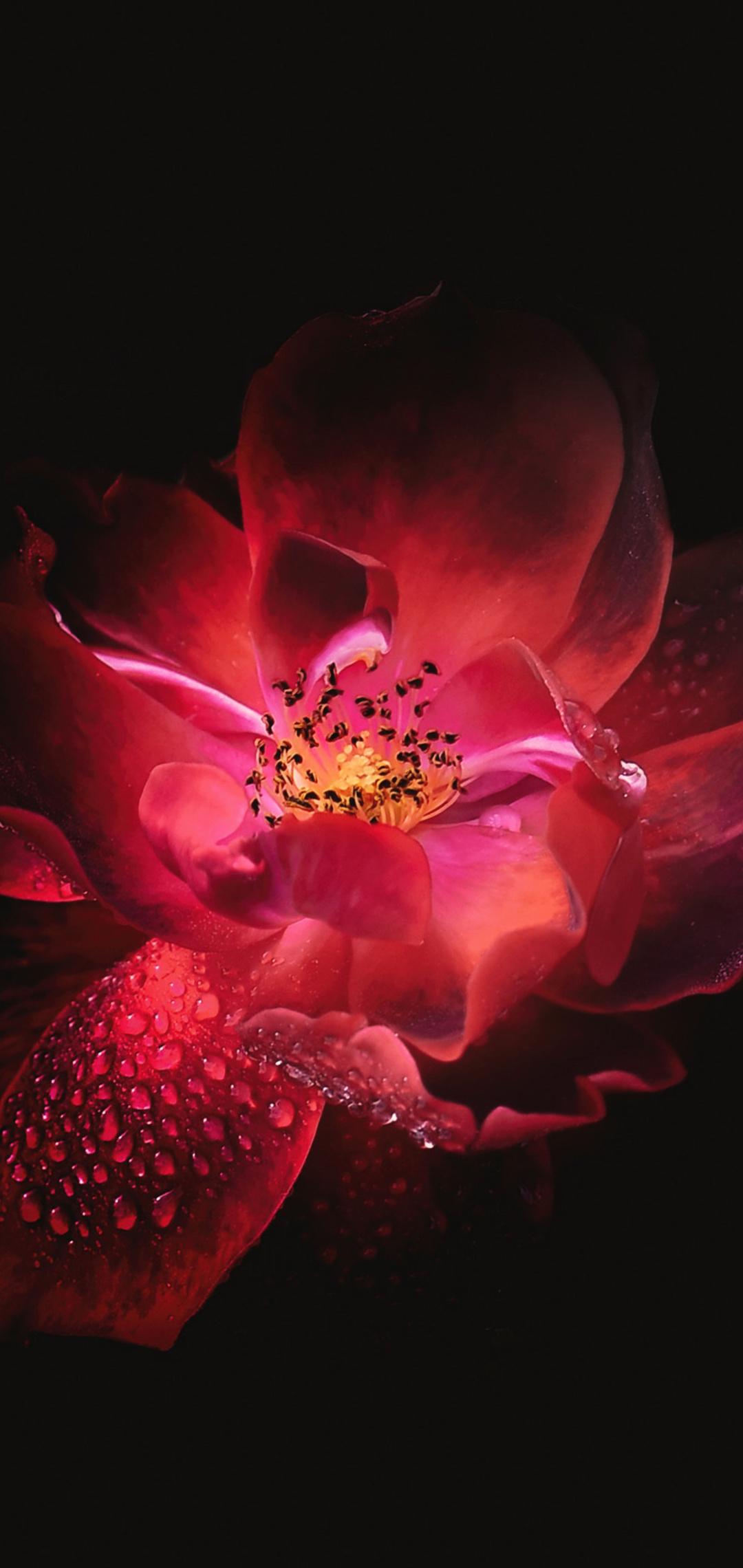 red-flower-black-background-4k-hj.jpg