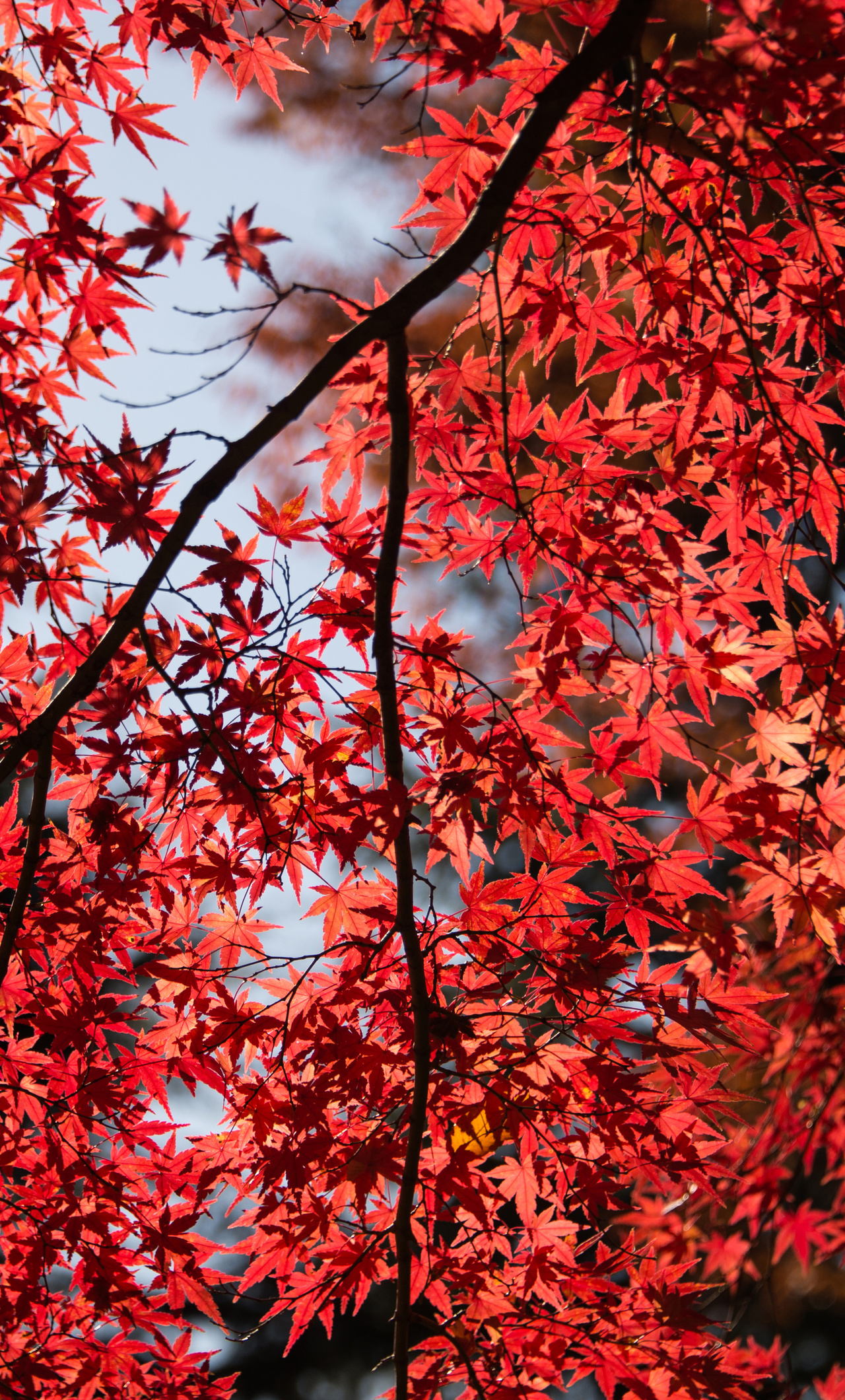 red leaves wallpaper for iphone