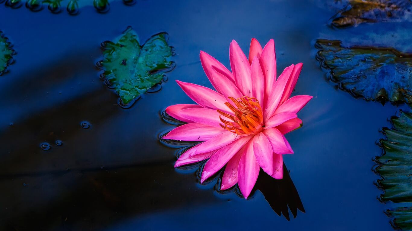 1366x768 red lily flower water 4k 1366x768 resolution hd 4k