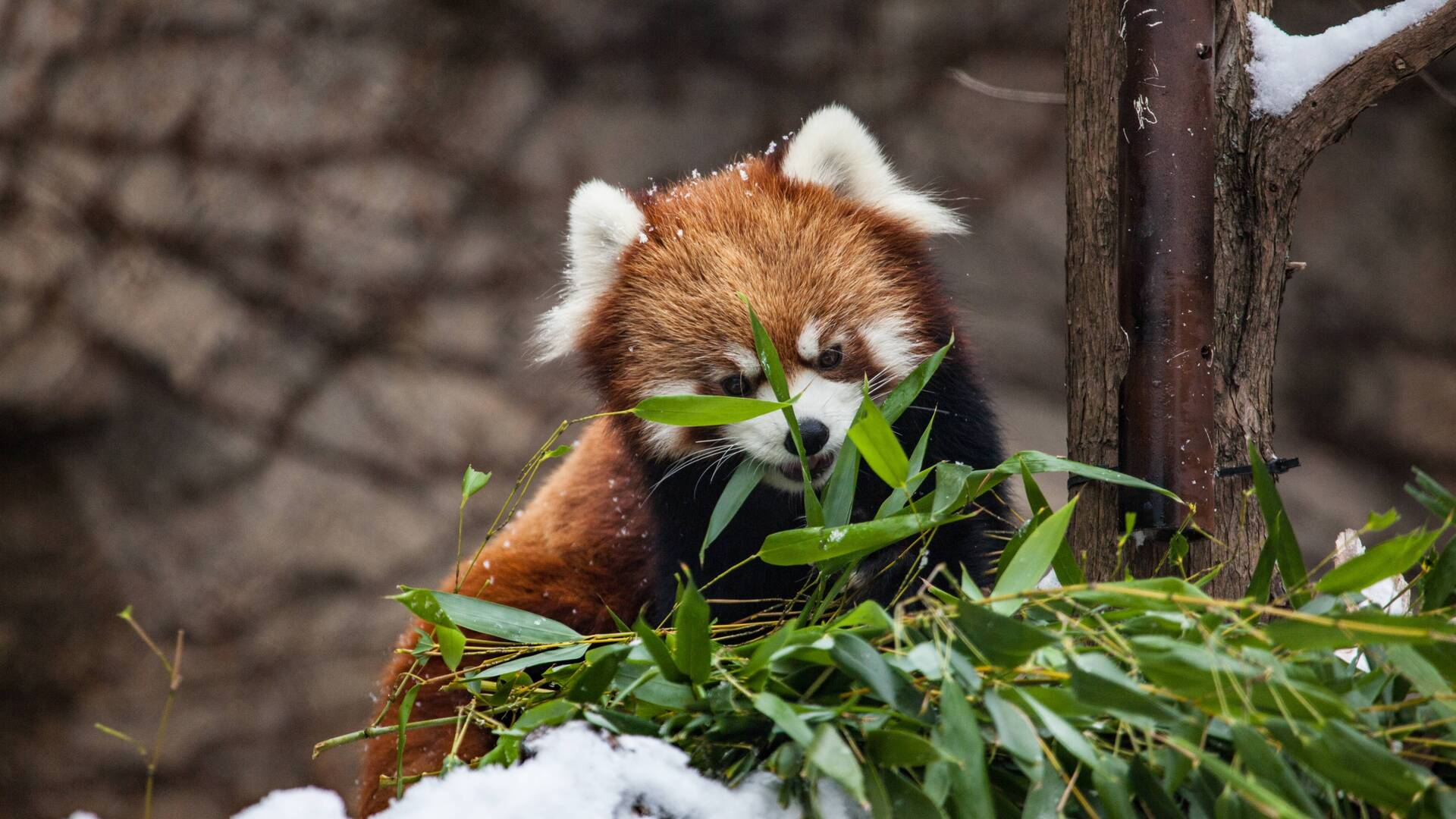 1920x1080 Red Panda Laptop Full HD 1080P HD 4k Wallpapers, Images