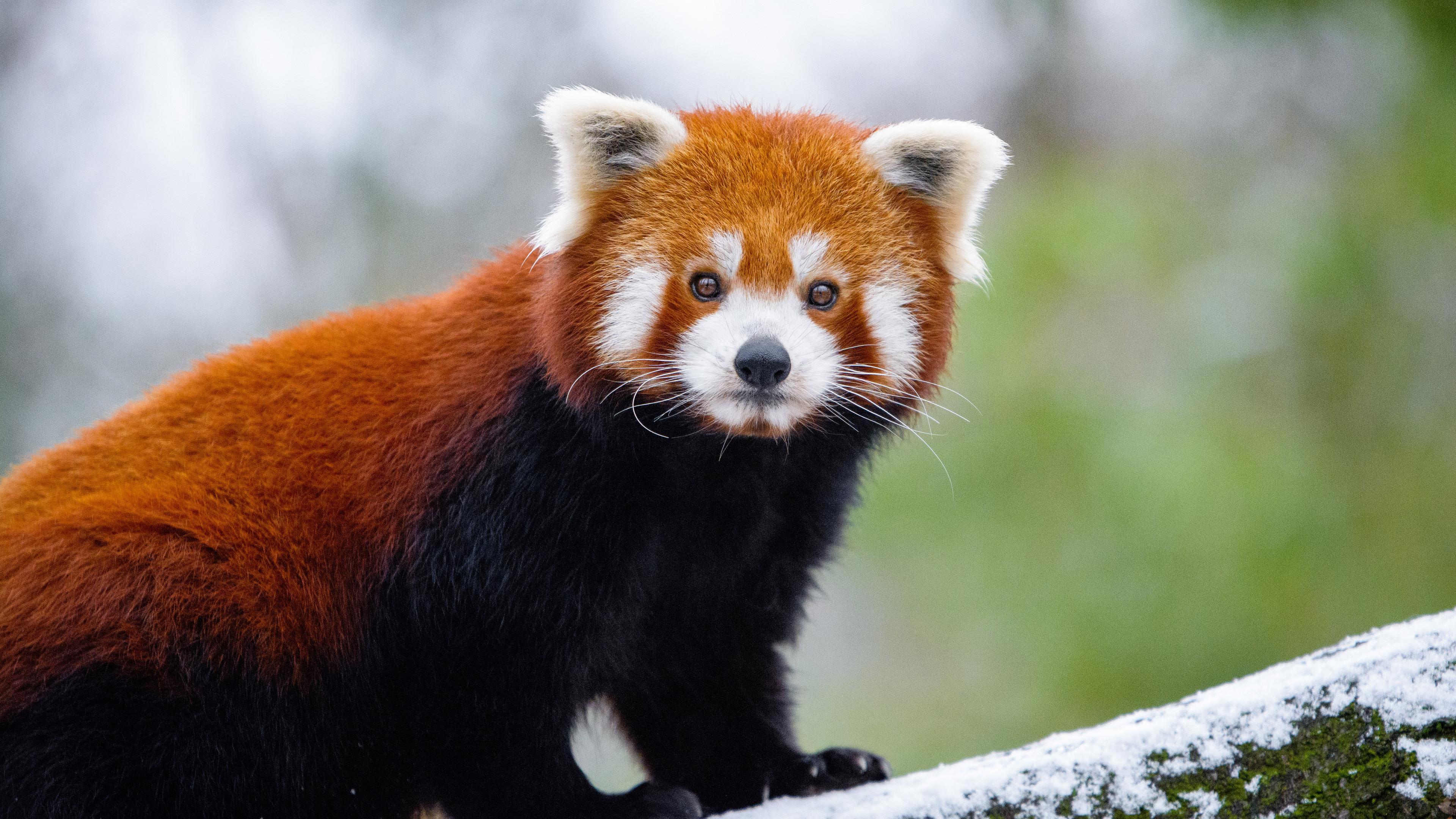 3840x2160 Red Panda 5k 4k HD 4k Wallpapers, Images ...