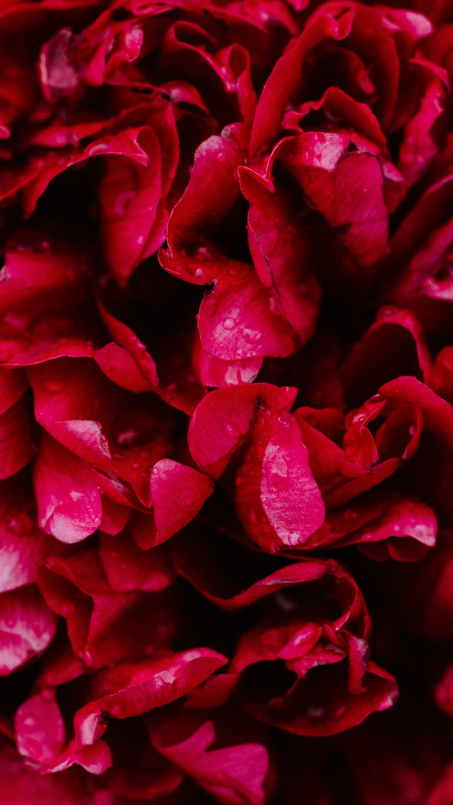 red-roses-5k-p0.jpg