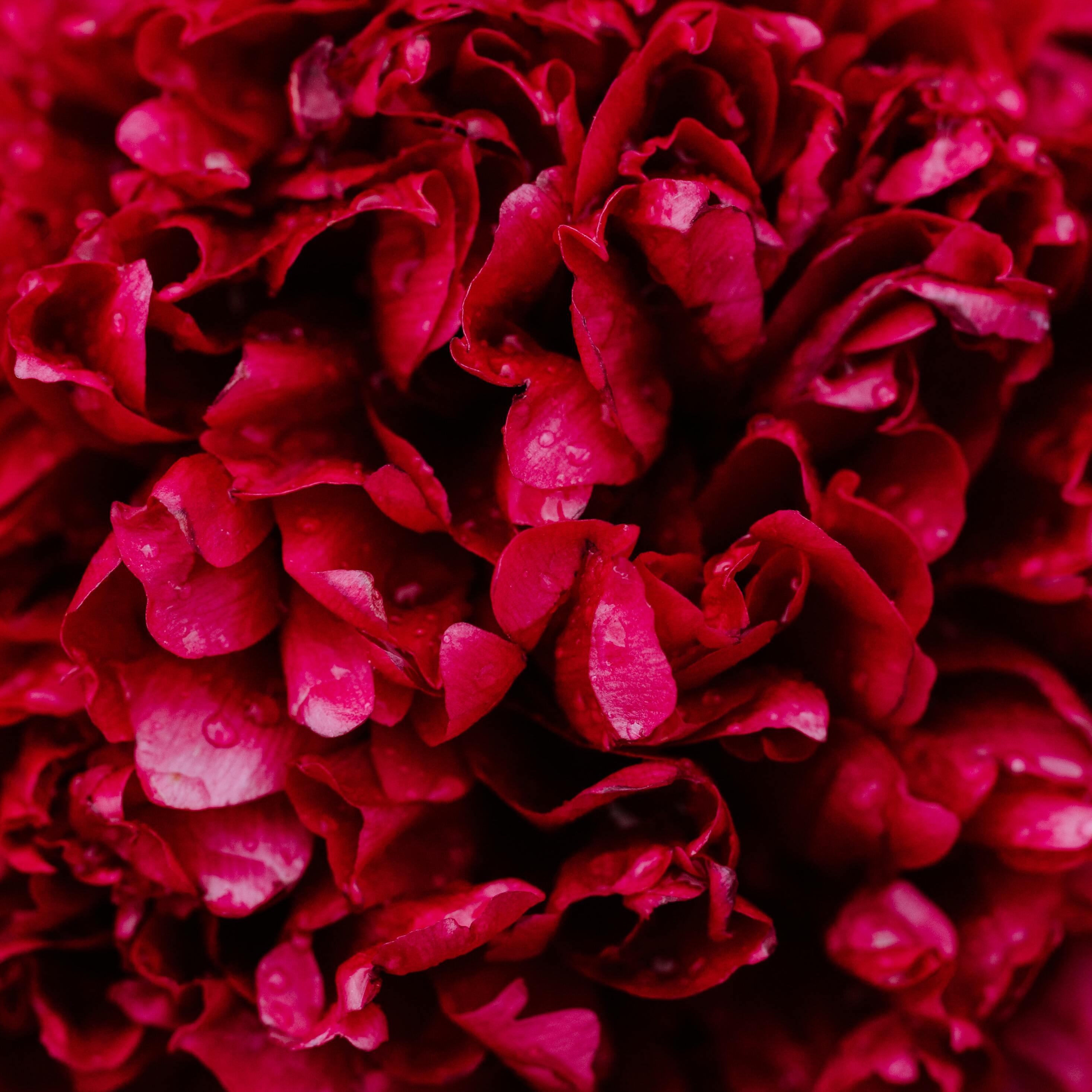 2932x2932 Red Roses 5k Ipad Pro Retina Display HD 4k