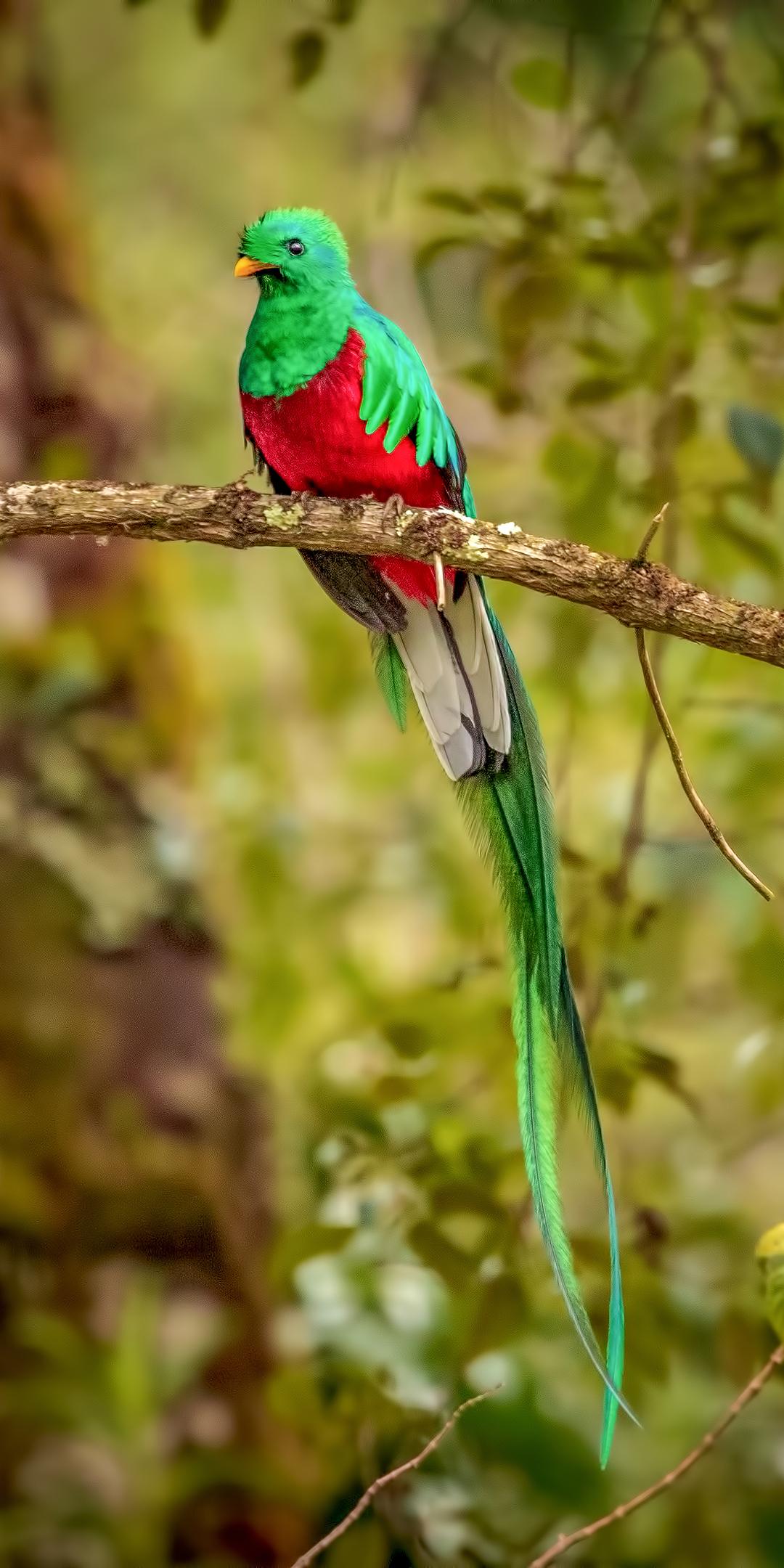 resplendent-quetzal-bird-4k-s4.jpg