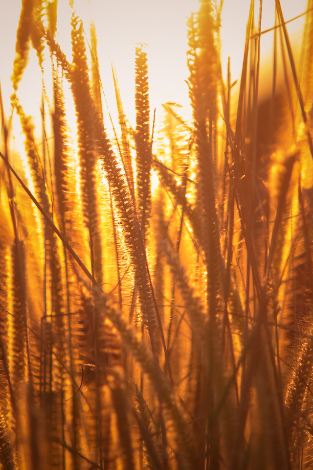 rice-agriculture-field-golden-hour-grass-5k-86.jpg