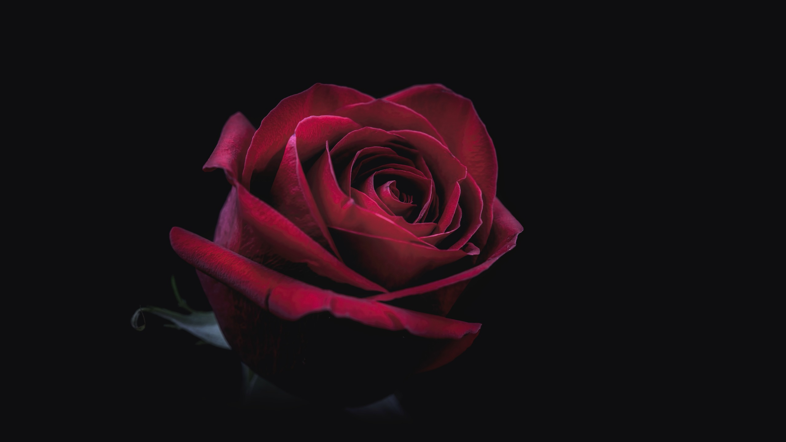 2560x1440 rose oled 8k 1440p resolution hd 4k wallpapers - Hd rose wallpaper for android mobile ...