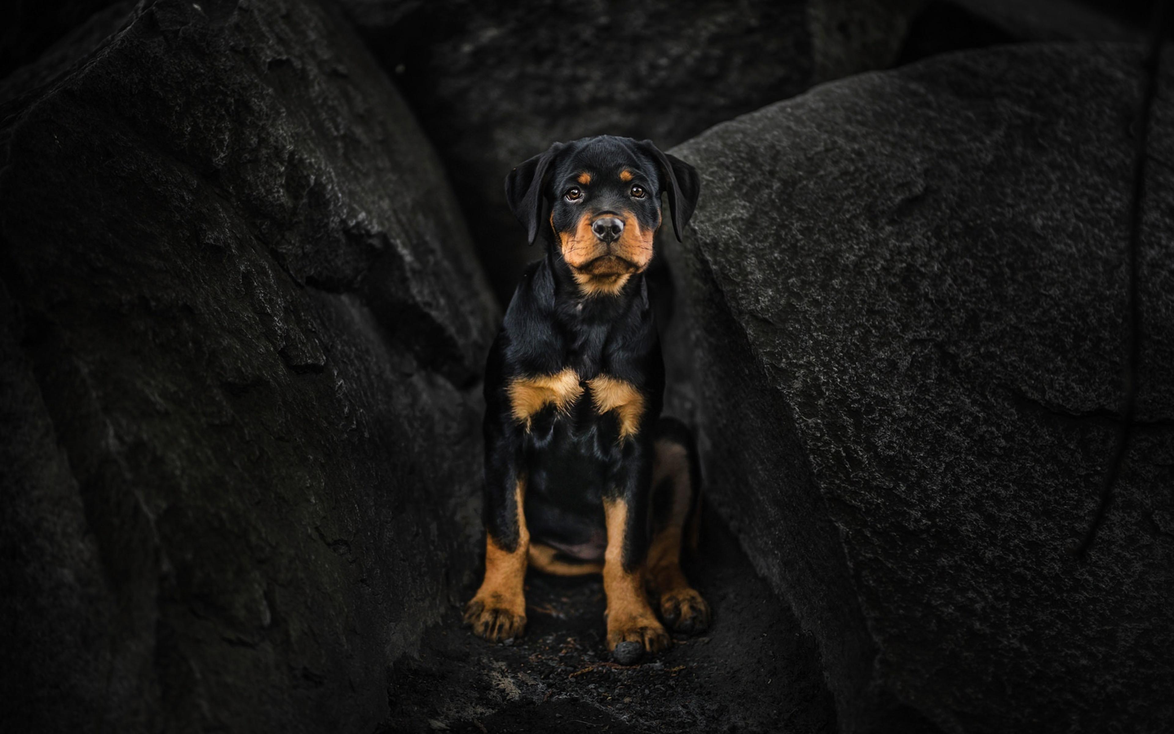 rottweiler-puppy-xe.jpg