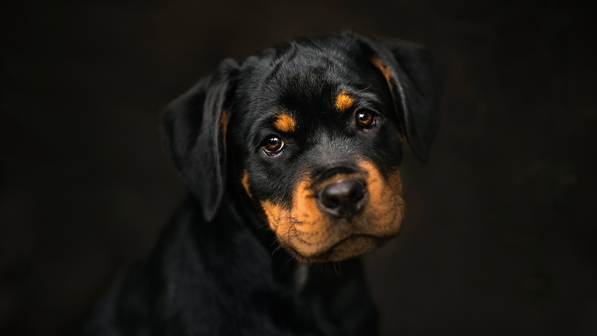 1920x1080 Rottweiler Laptop Full Hd 1080p Hd 4k Wallpapers Images