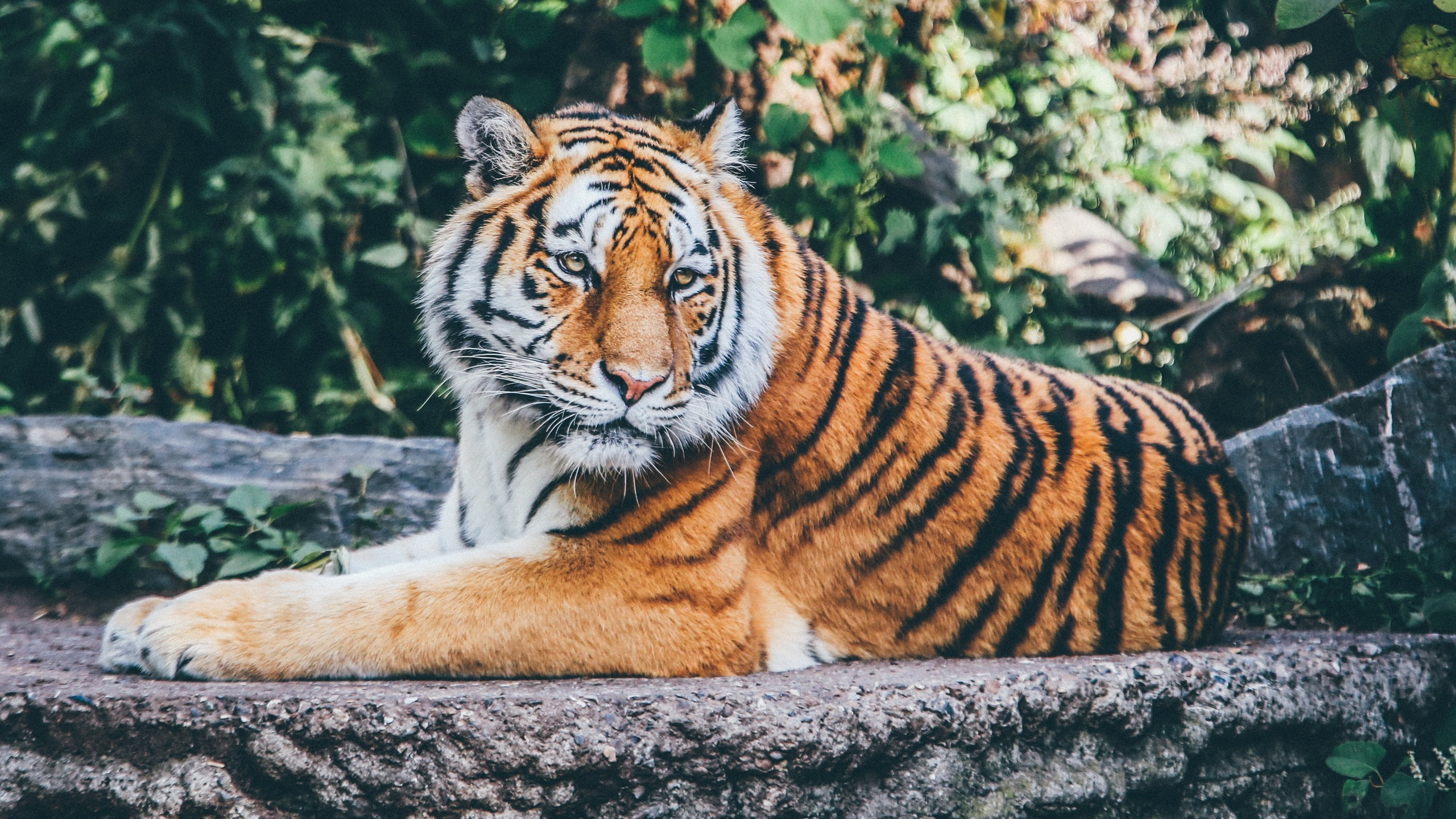 2560x1440 safari tiger 4k 1440p resolution hd 4k wallpapers, images