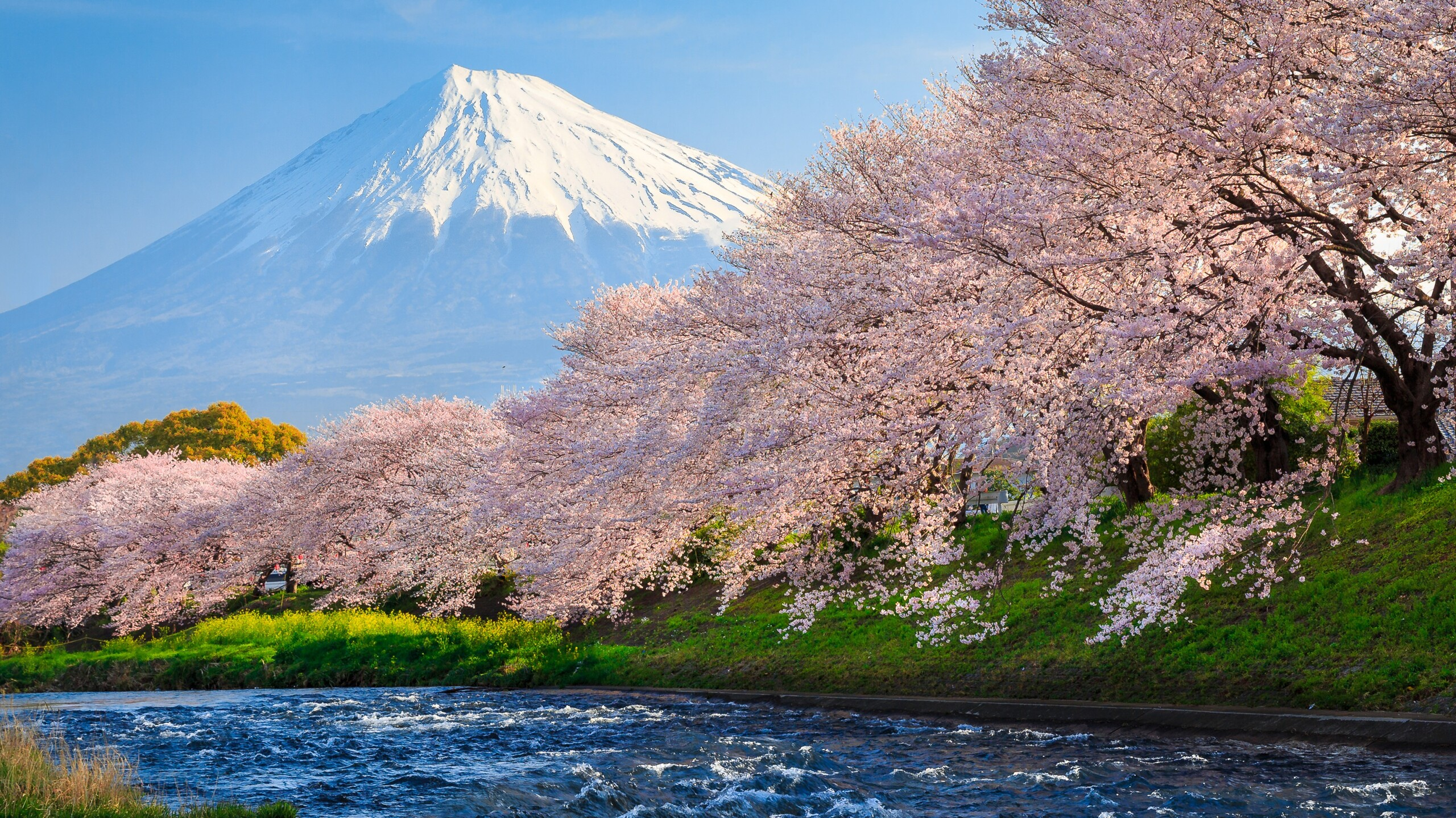 2560x1440 Sakura River Japan 1440p Resolution Hd 4k Wallpapers