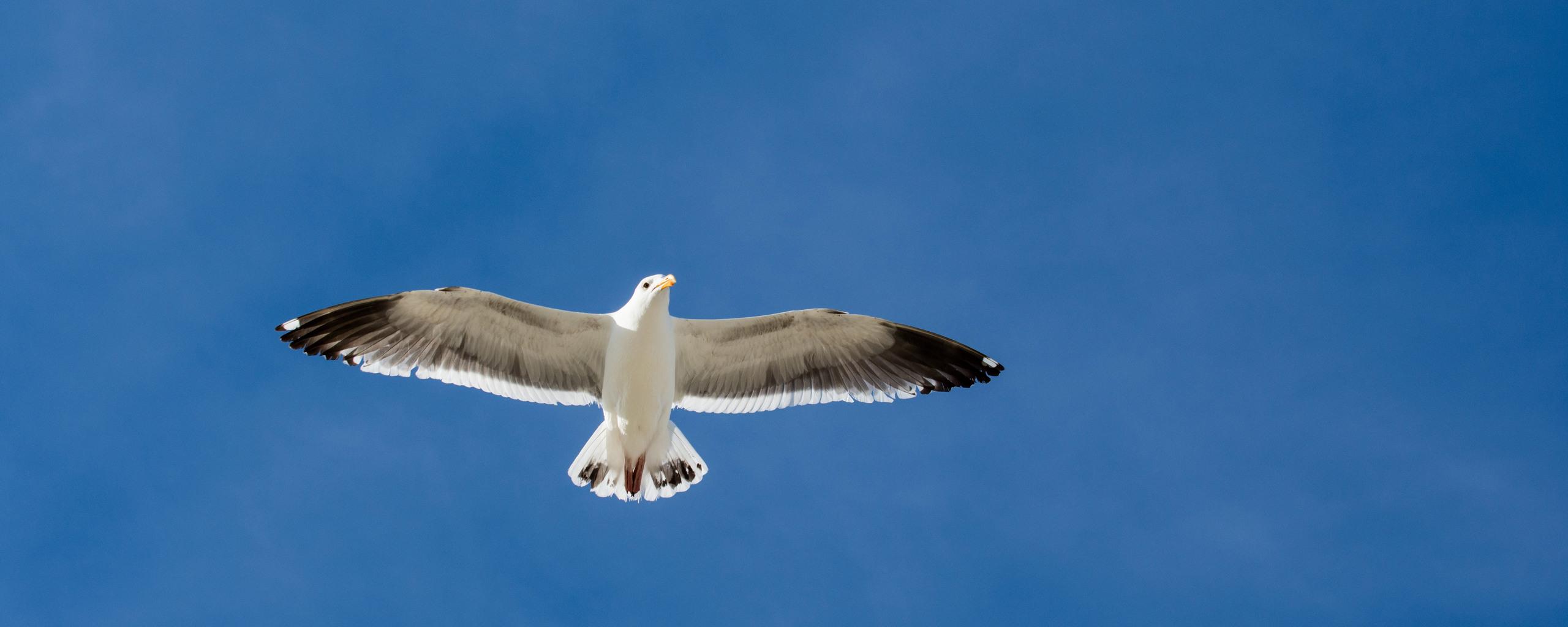 seagull-5k-gt.jpg