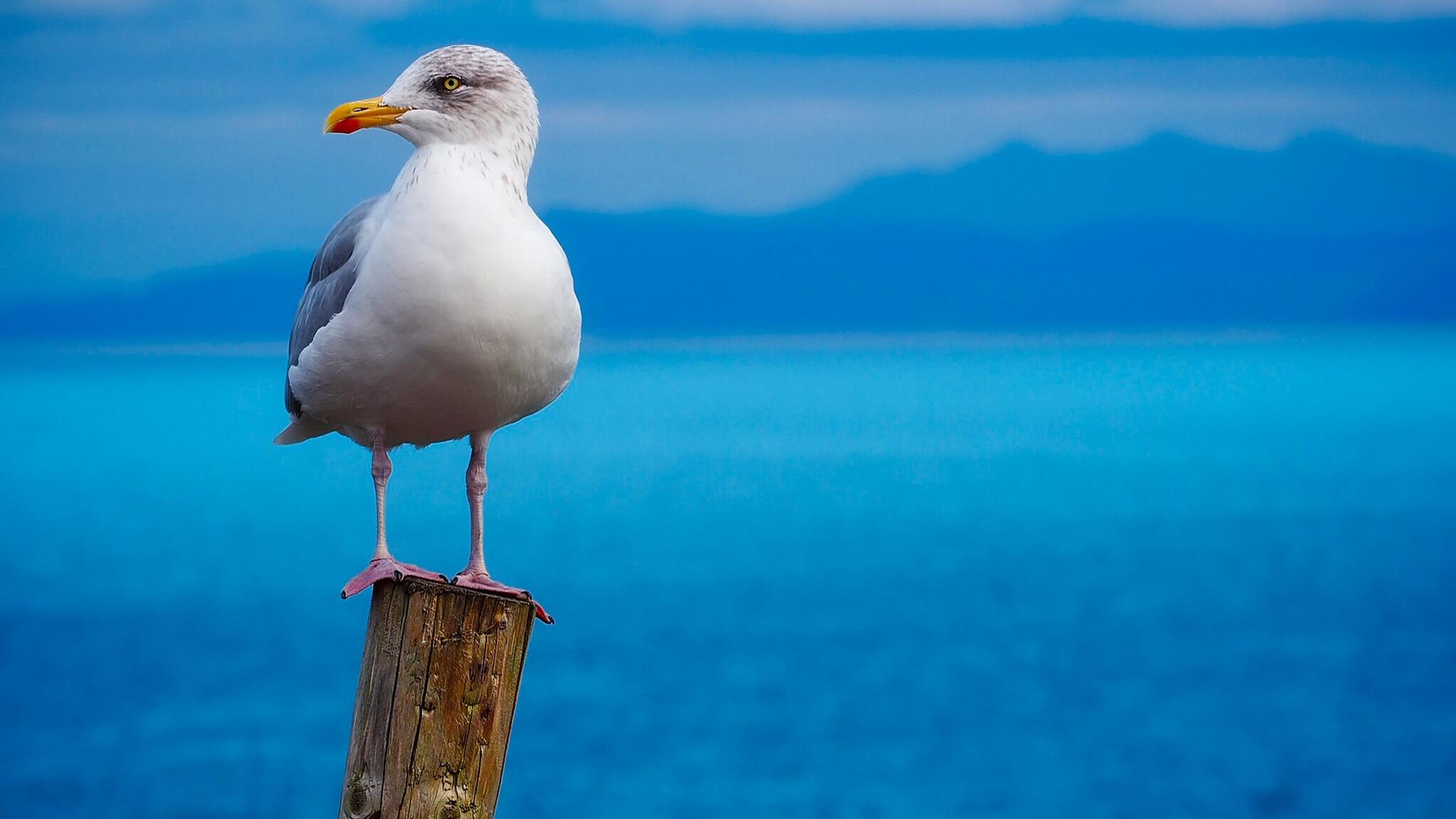 2048x1152 seagull birds hd 2048x1152 resolution hd 4k wallpapers