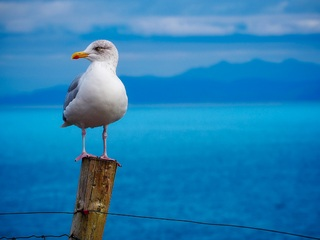 seagull-birds-hd-5c.jpg