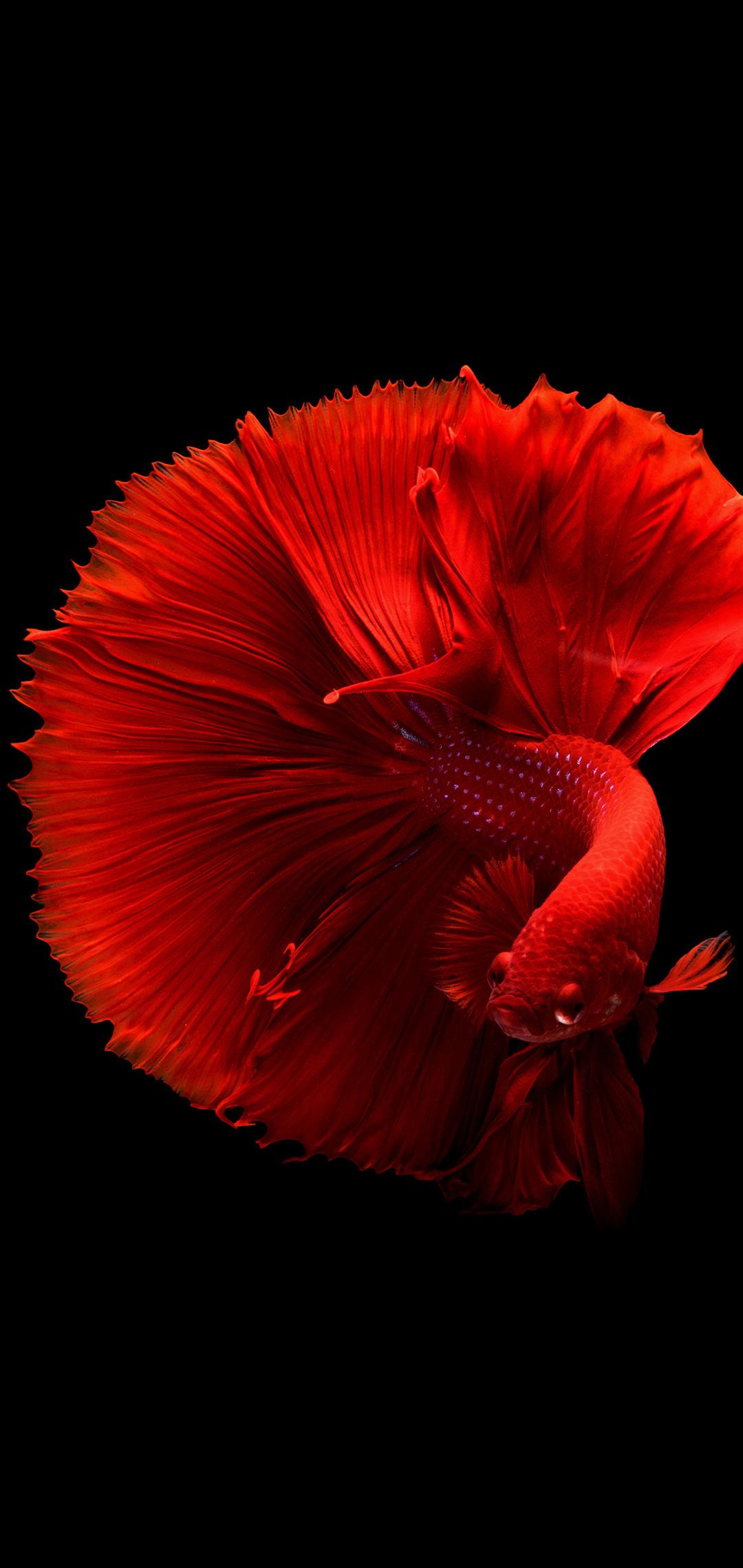 siamese-fighting-fish-4k-p5.jpg
