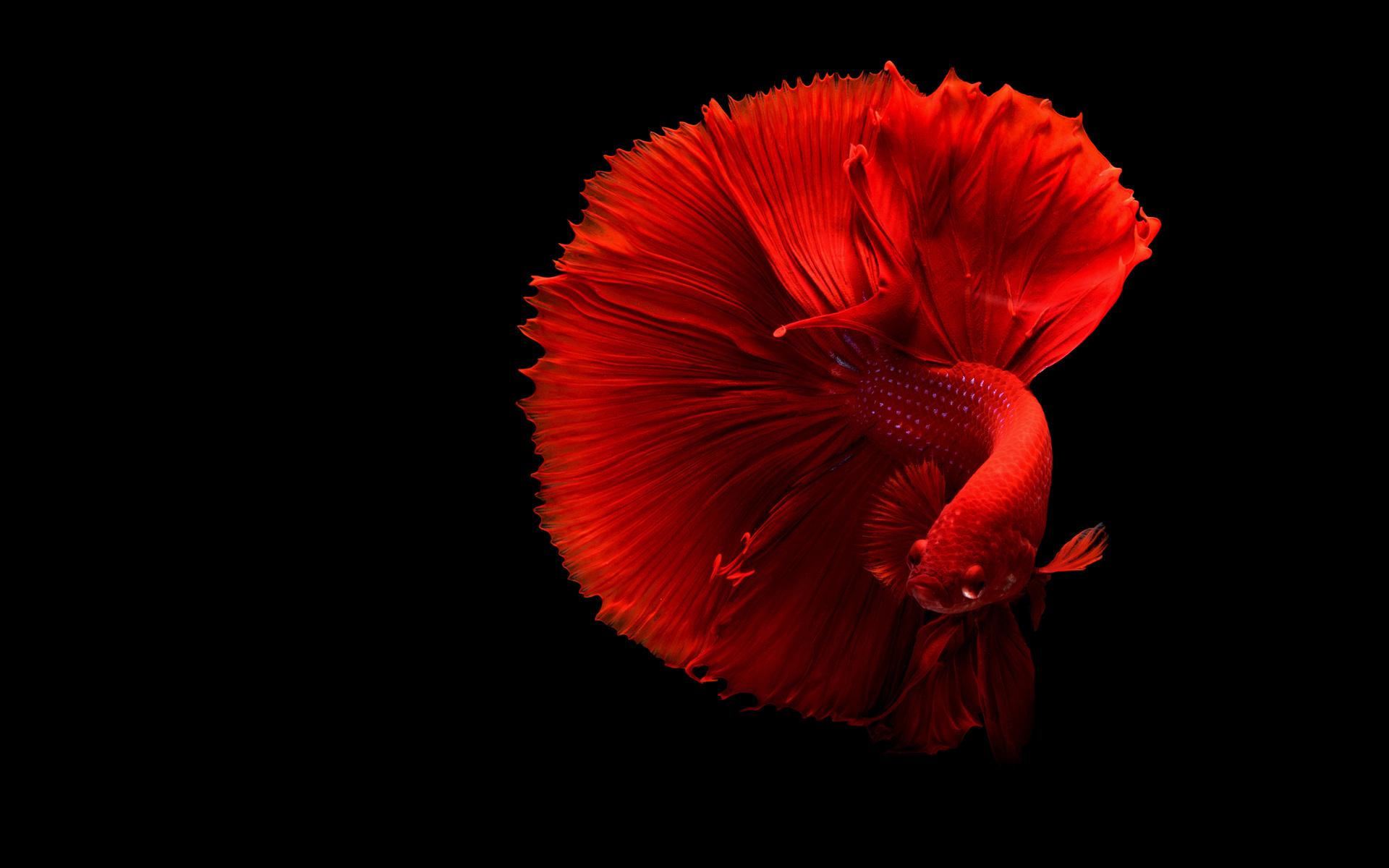 1920x1200 siamese fighting fish 4k 1080p resolution hd 4k wallpaperssiamese fighting fish 4k p5 jpg