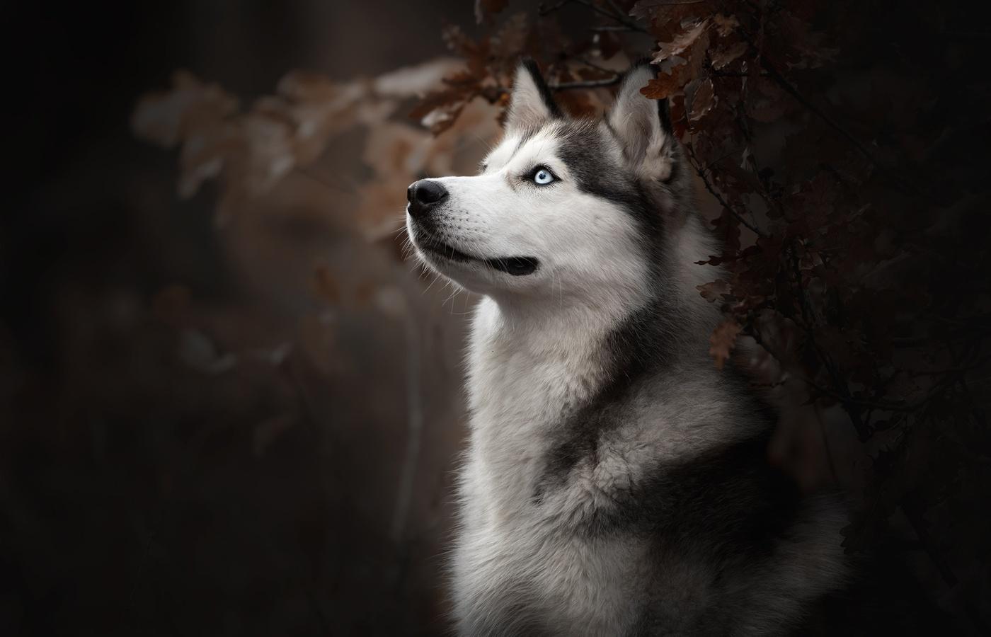siberian-husky-dog-breed-4c.jpg